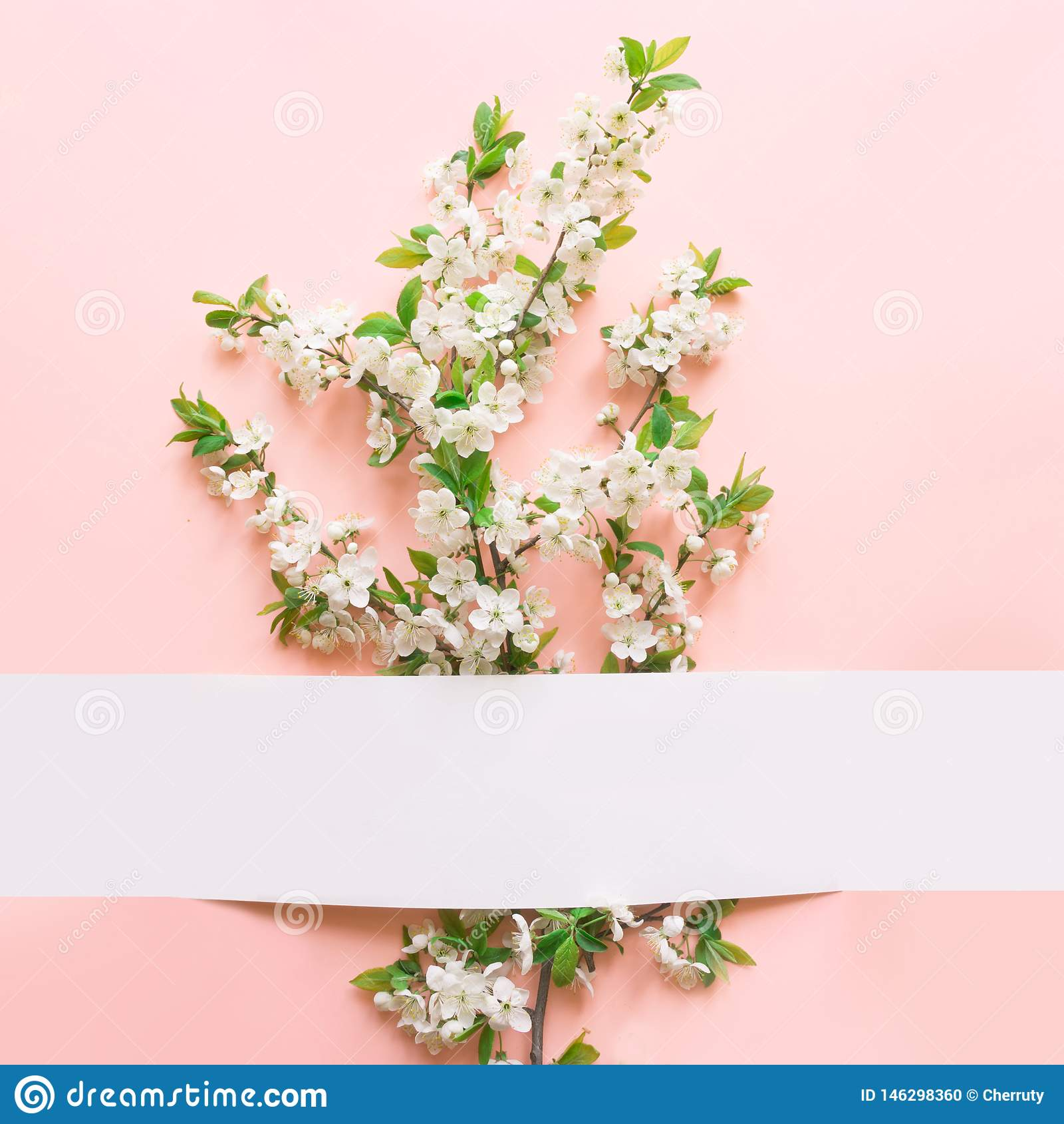 Fondo floreale della primavera dei fiori bianchi del fiore della prugna sul rosa Donne e cartolina d auguri di festa di festa del