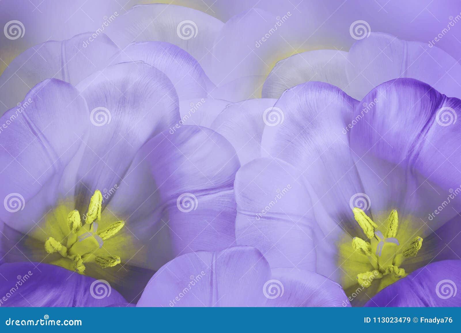 Fondo floreale della viola della molla Fiorisce il fiore porpora dei tulipani Primo piano Cartolina d auguri