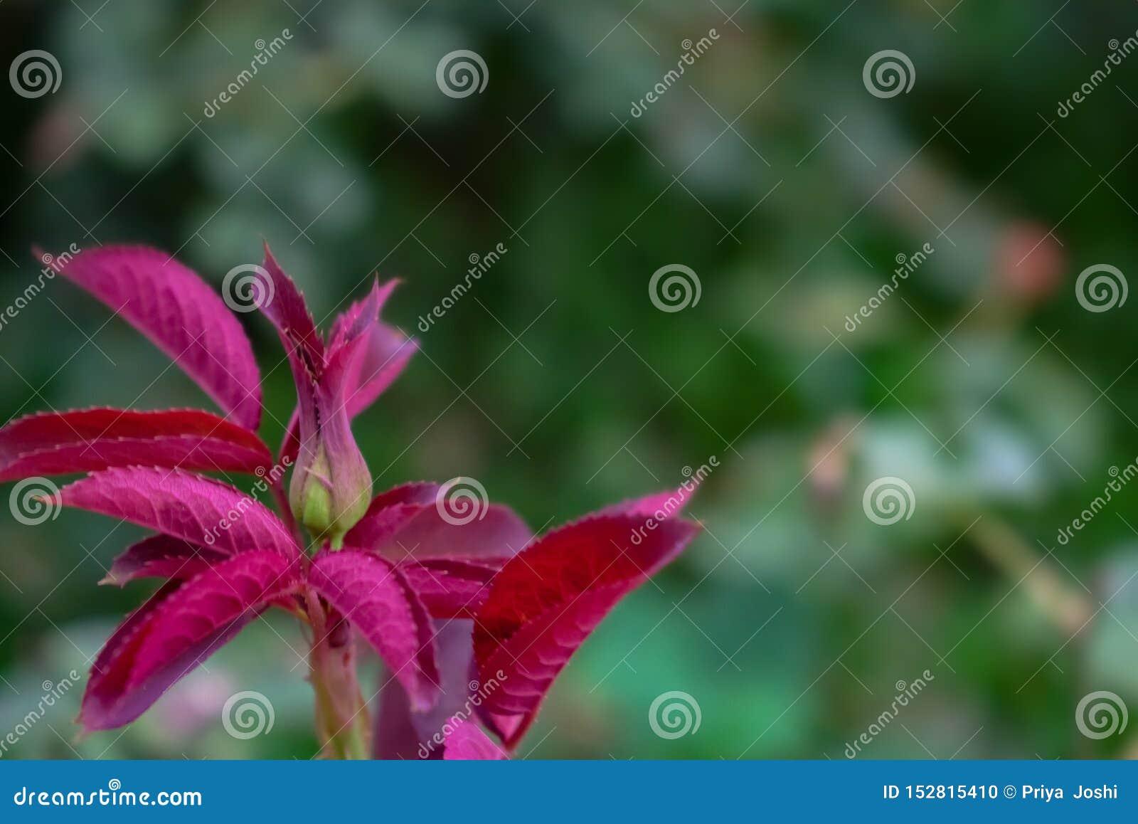 Fondo hermoso con las hojas color de rosa
