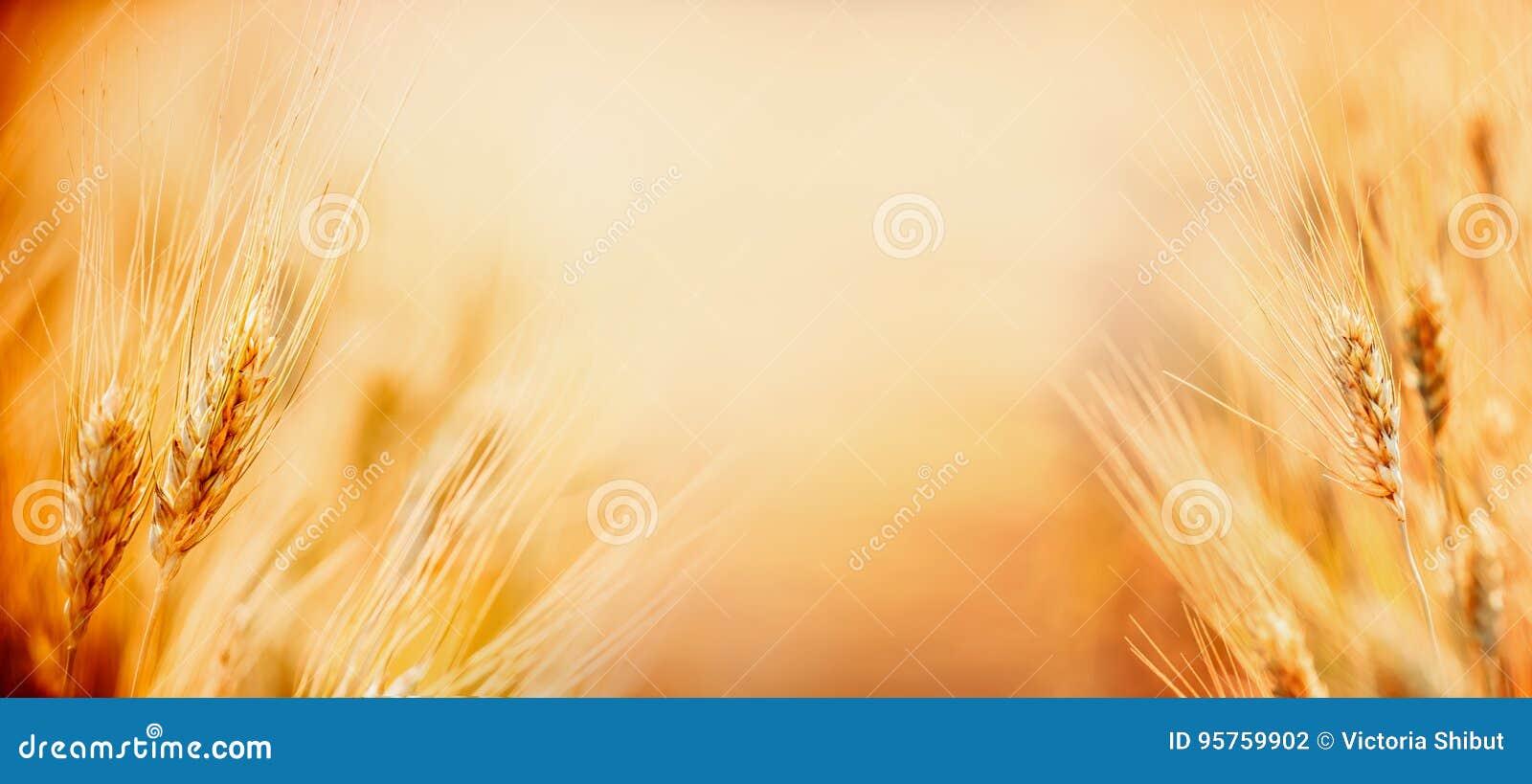 Fondo hermoso de la naturaleza con cierre para arriba de oídos del trigo maduro en el campo de cereal, lugar para el cierre del t
