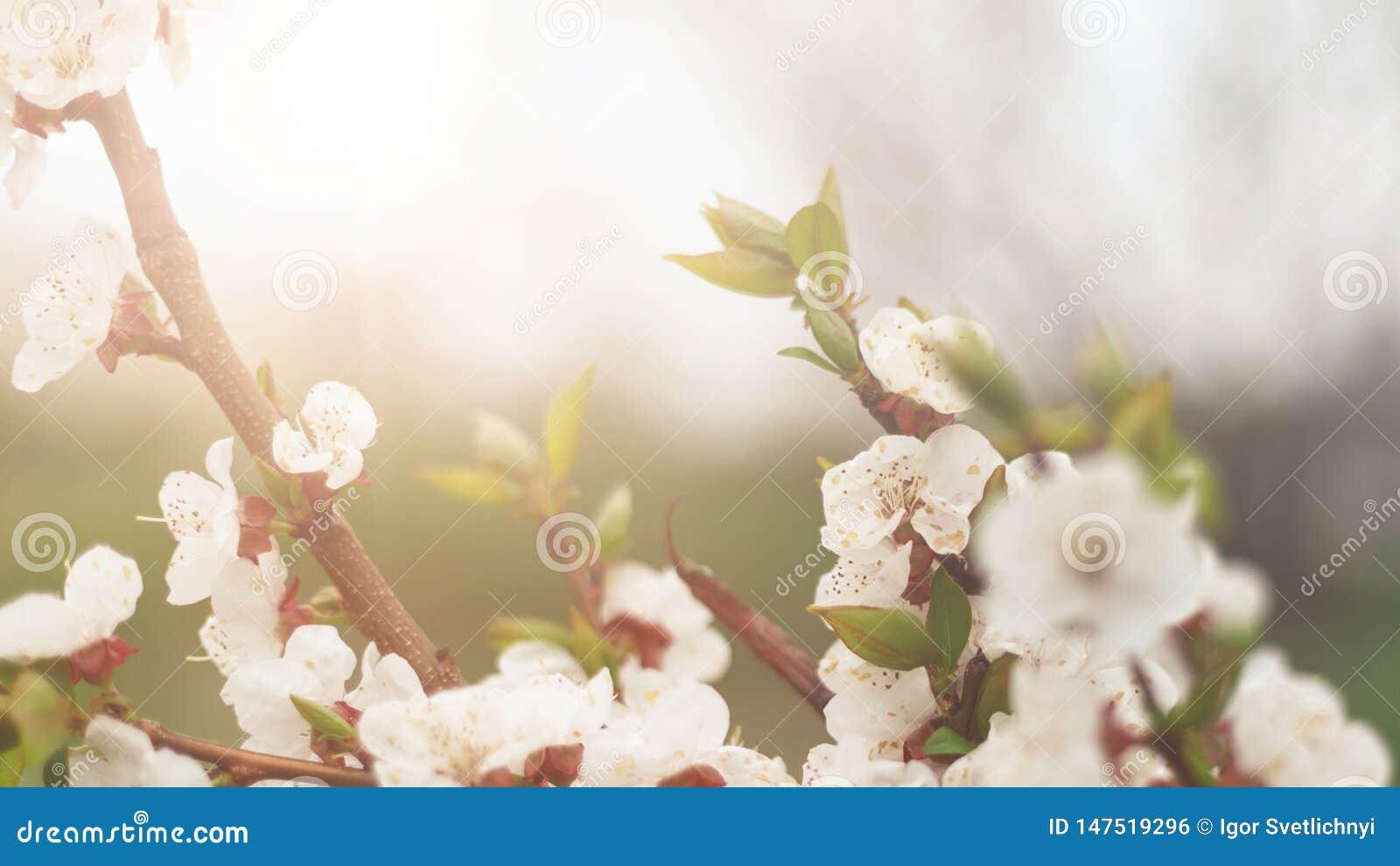 Fondo hermoso de la naturaleza E Copie el espacio Ramas de la cereza floreciente