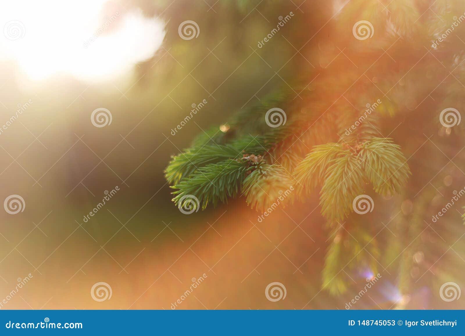 Fondo hermoso de la naturaleza E Copie el espacio Ramas mullidas del abeto en naturaleza en los rayos del sol caliente de la pues