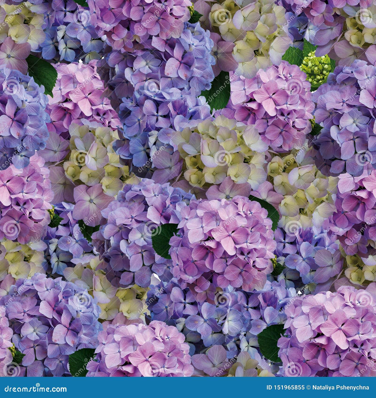 Fondo hermoso de las flores de la hortensia