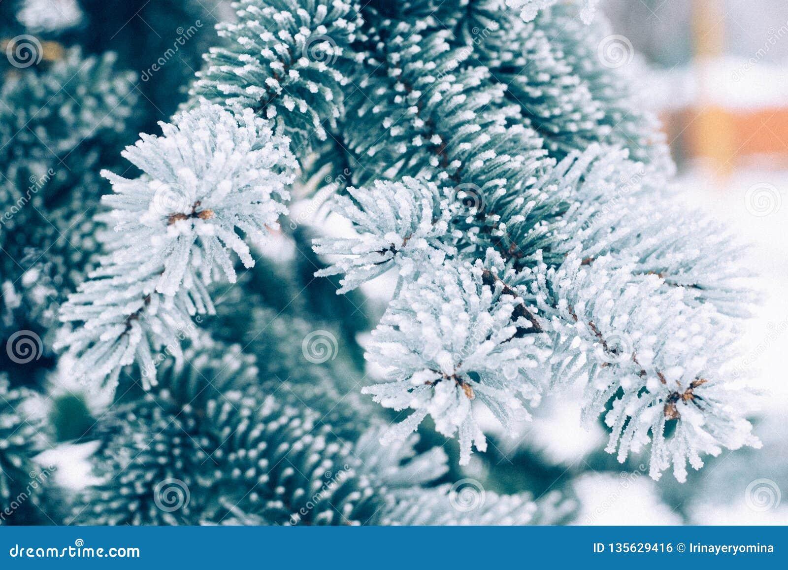 Fondo imperecedero del árbol de la Navidad de la helada del invierno El hielo cubrió cierre azul de la rama de la picea para arri