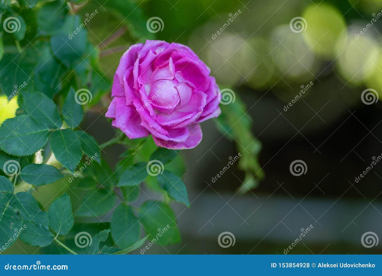 Fondo natural La imagen de la púrpura subió en una rama en foco suave