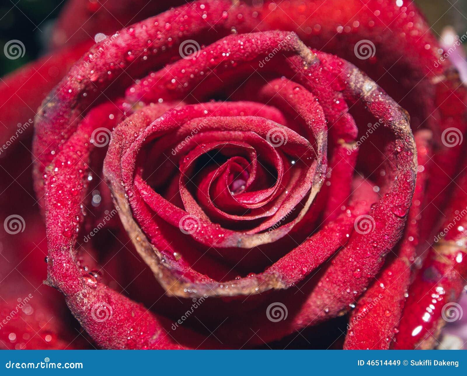 Fondo rojo de las rosas