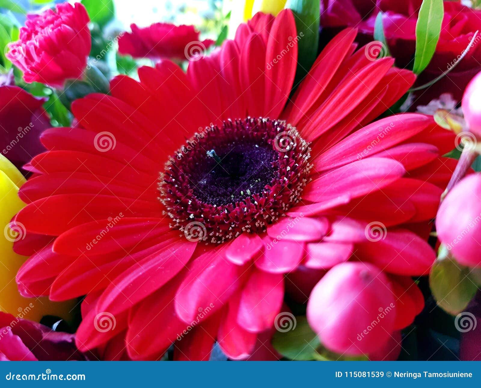 Fondo rojo de opinión del primer de la flor del gerbera