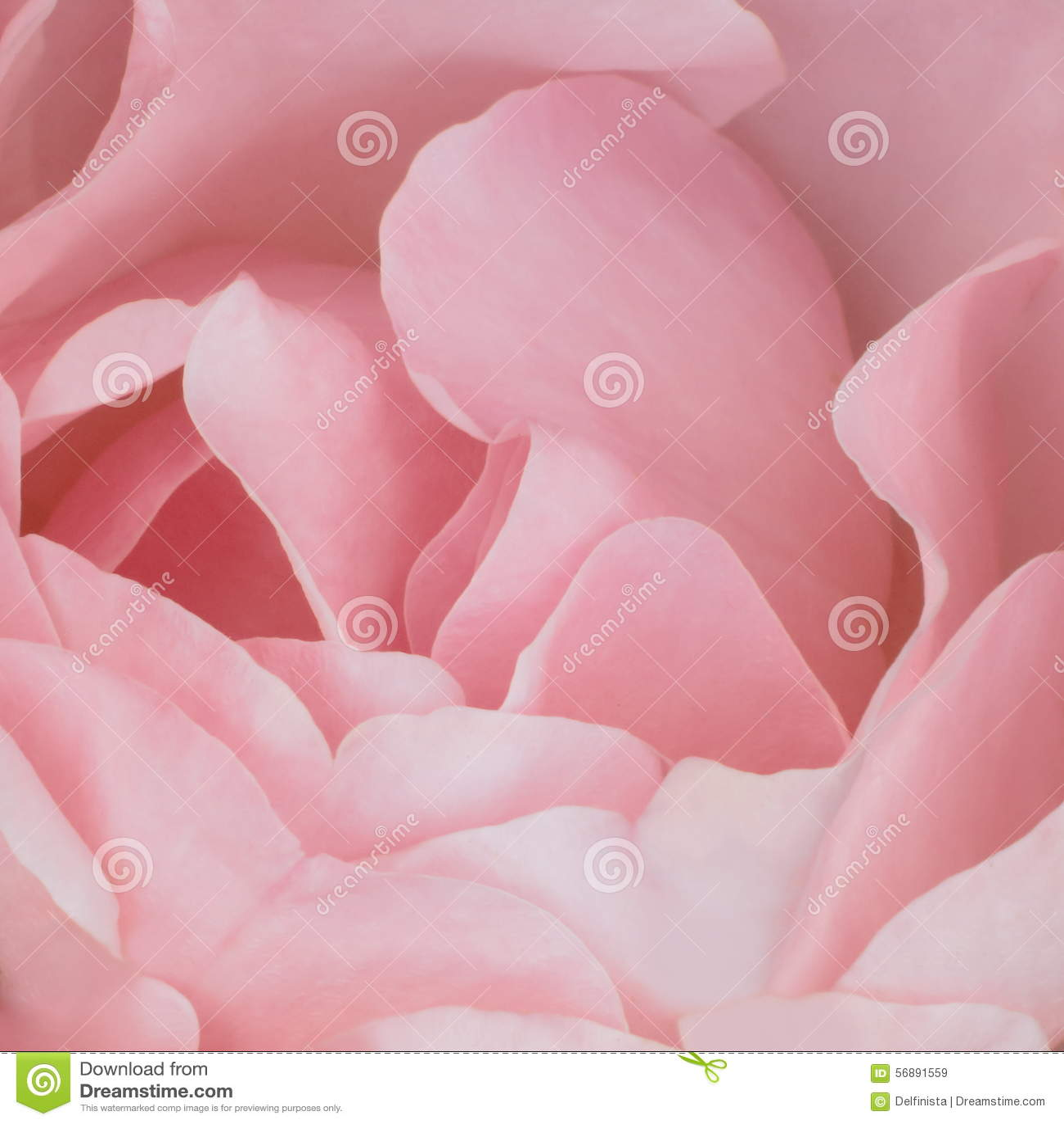 Fondo rosa: Rose Stock Photos
