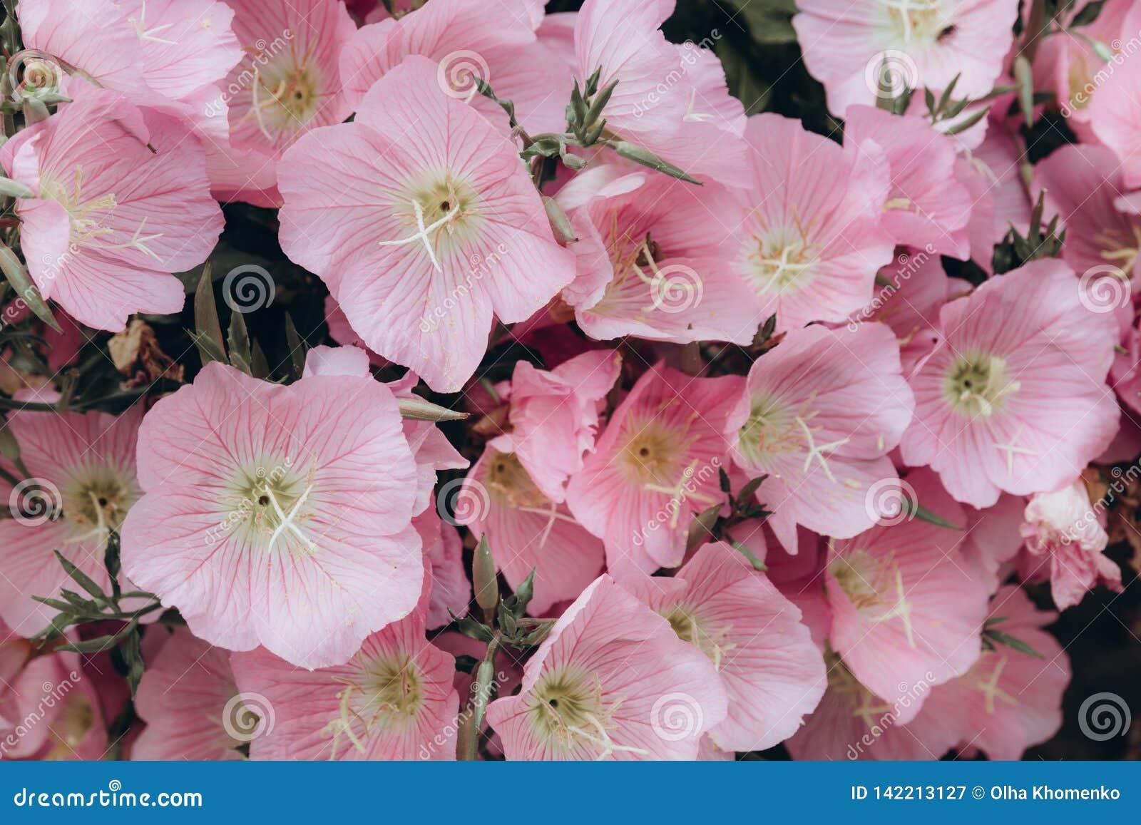 Fondo rosado en colores pastel de las flores