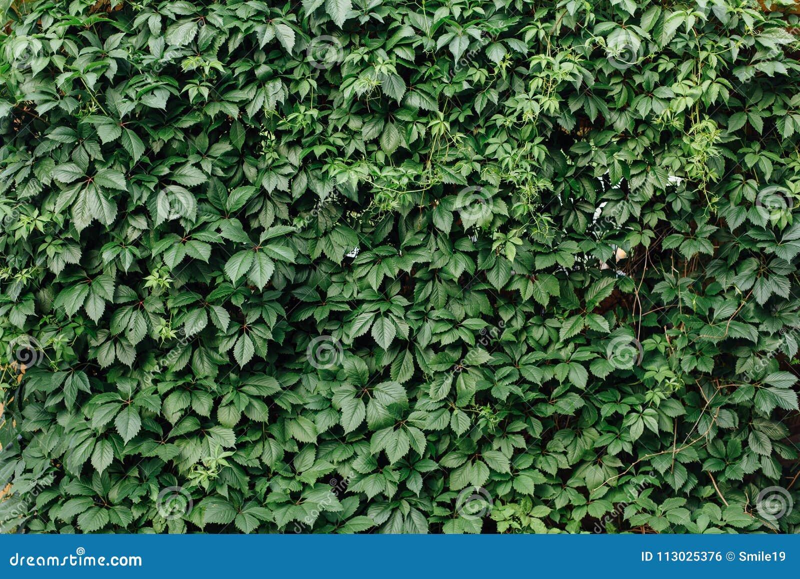 Fondo salvaje de la pared del verde de la uva
