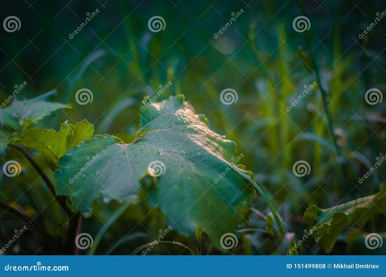 Fondo semi-borroso natural verde de las hierbas del campo y de la hoja de la bardana Resplandor de Sun en descensos del rocío