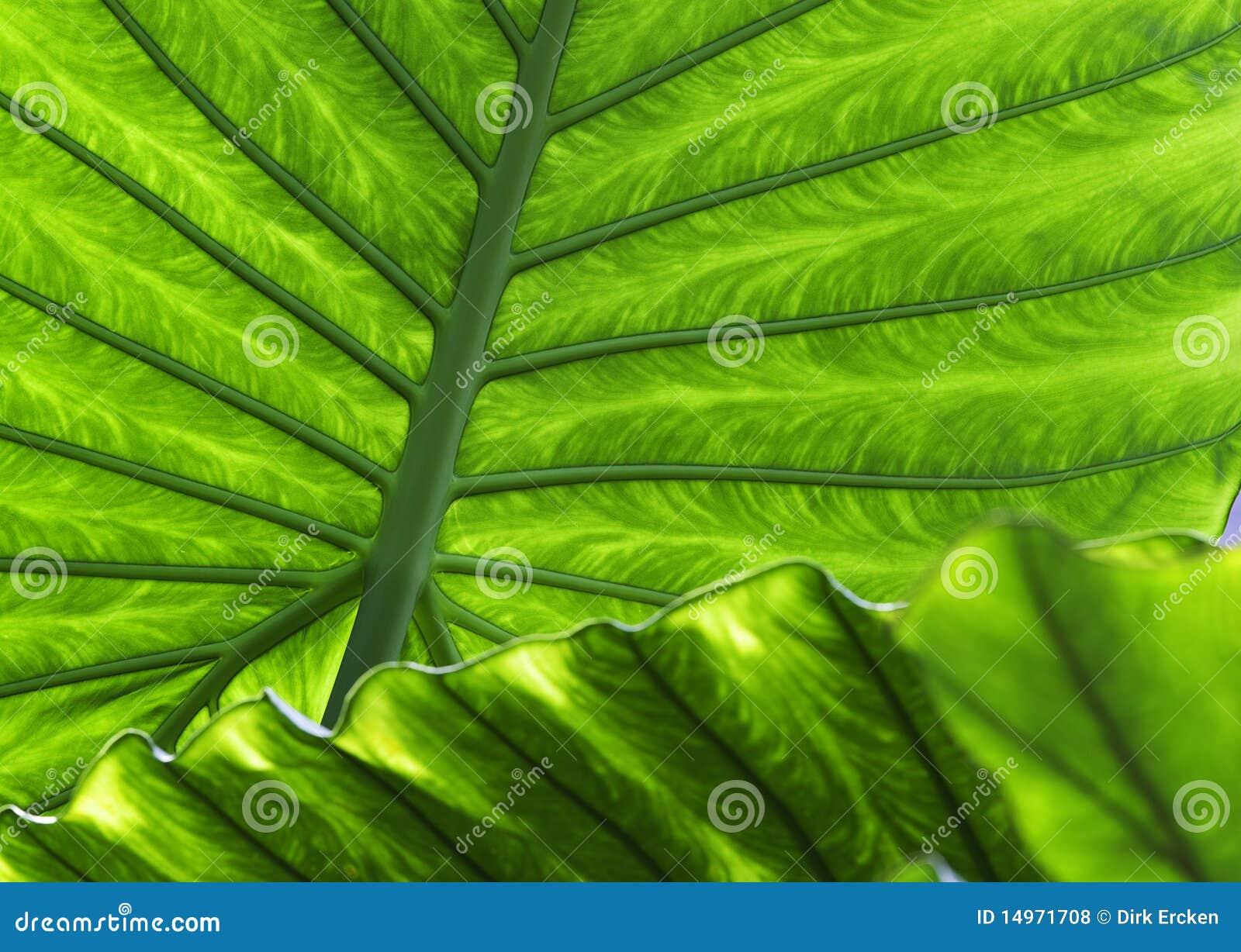 Fondo tropical de la textura del verde del detalle de la hoja