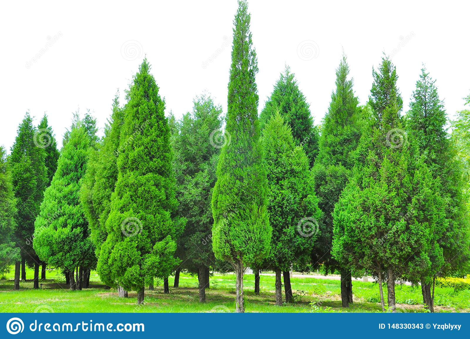Fondo verde del pino y del ciprés en campo