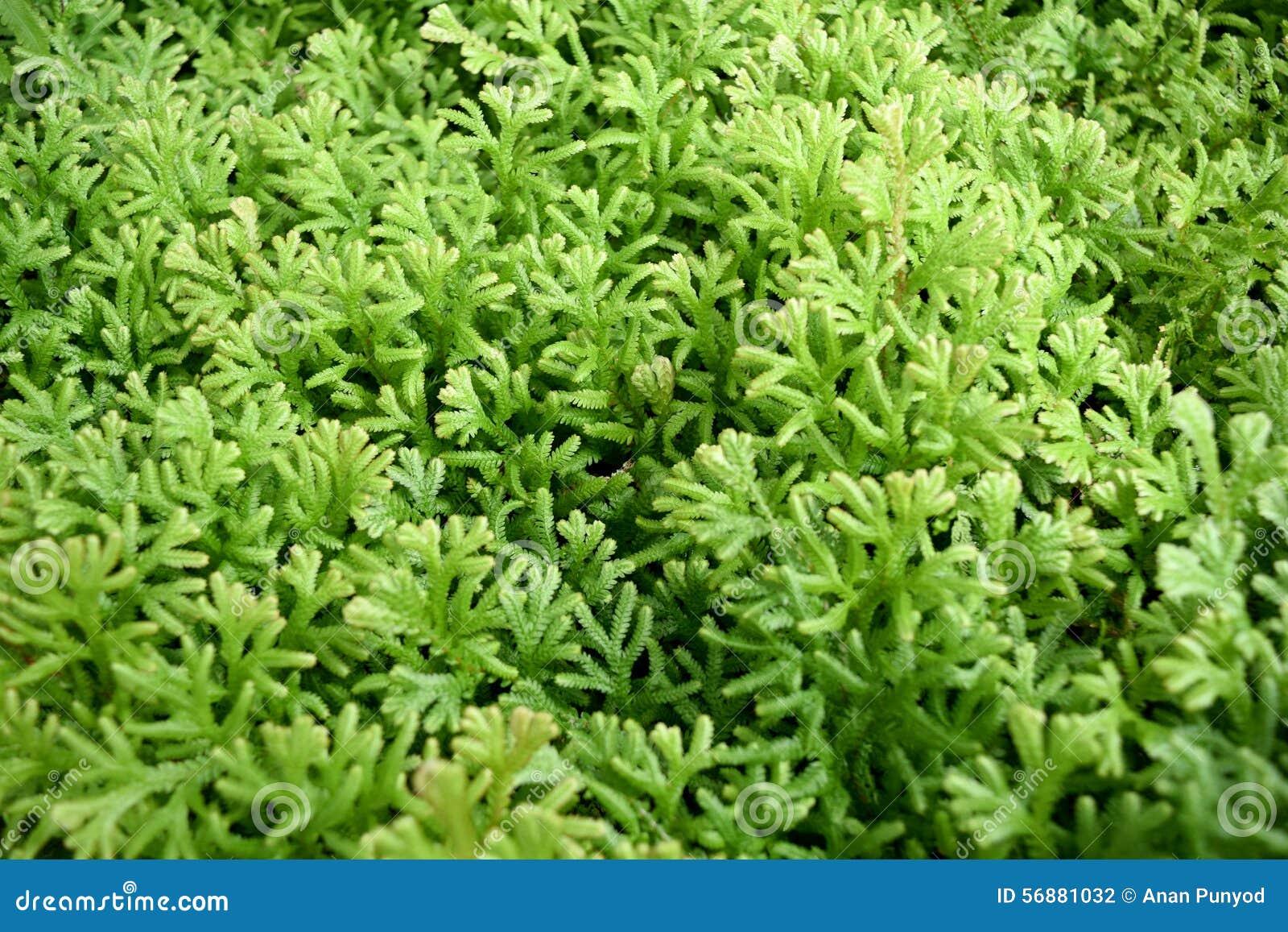 Fondo verde della felce - involvens del Selaginella (interruttore ) Primavera