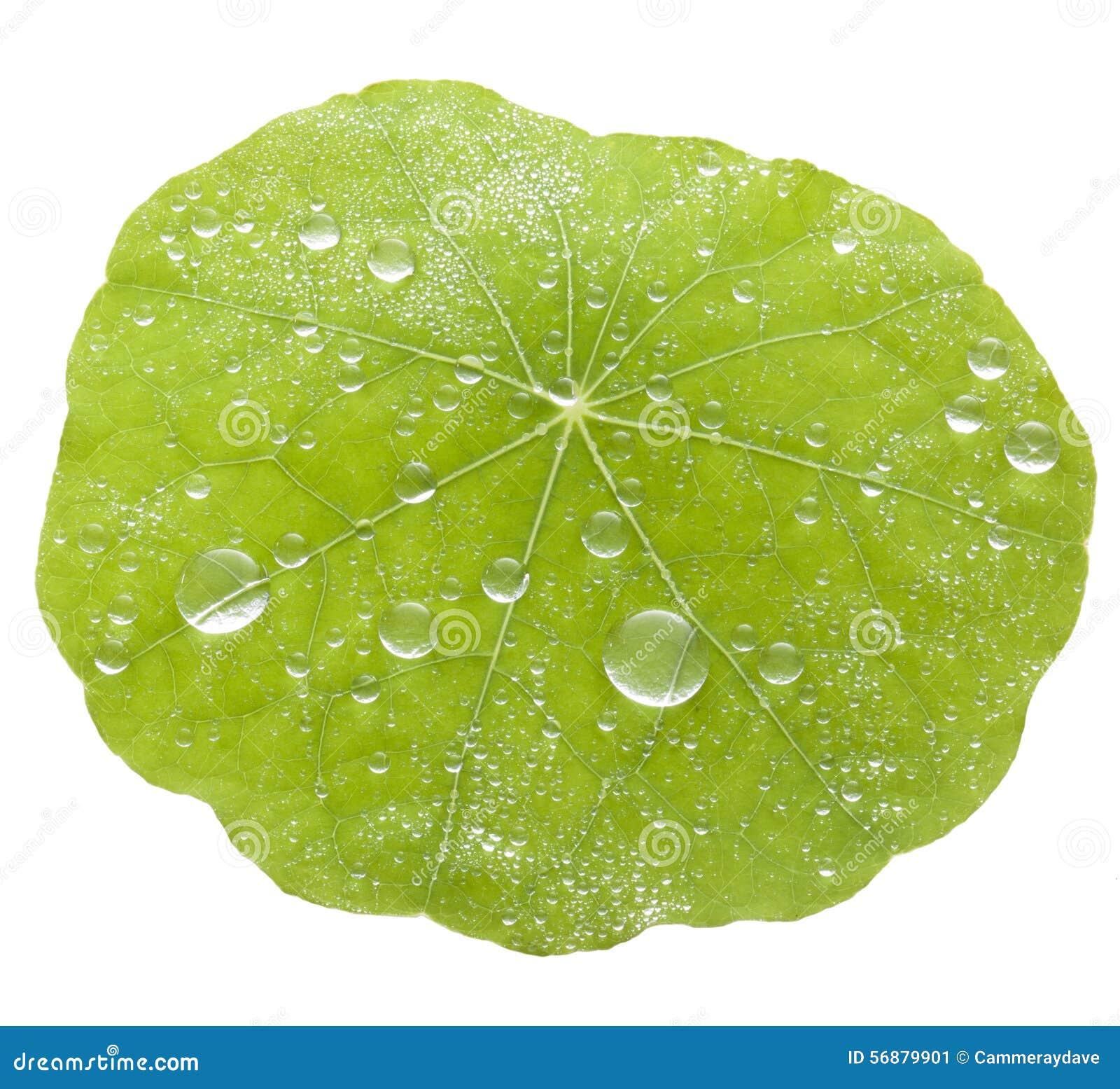 Fondo verde delle gocce di acqua della foglia