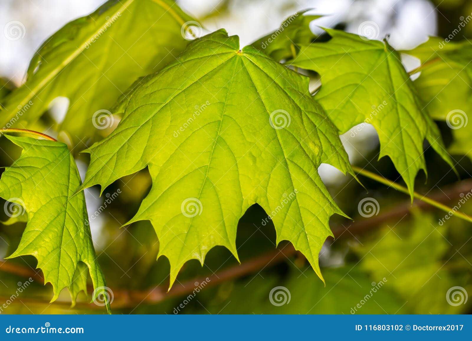 Fondo verde di luce del giorno delle foglie di acero
