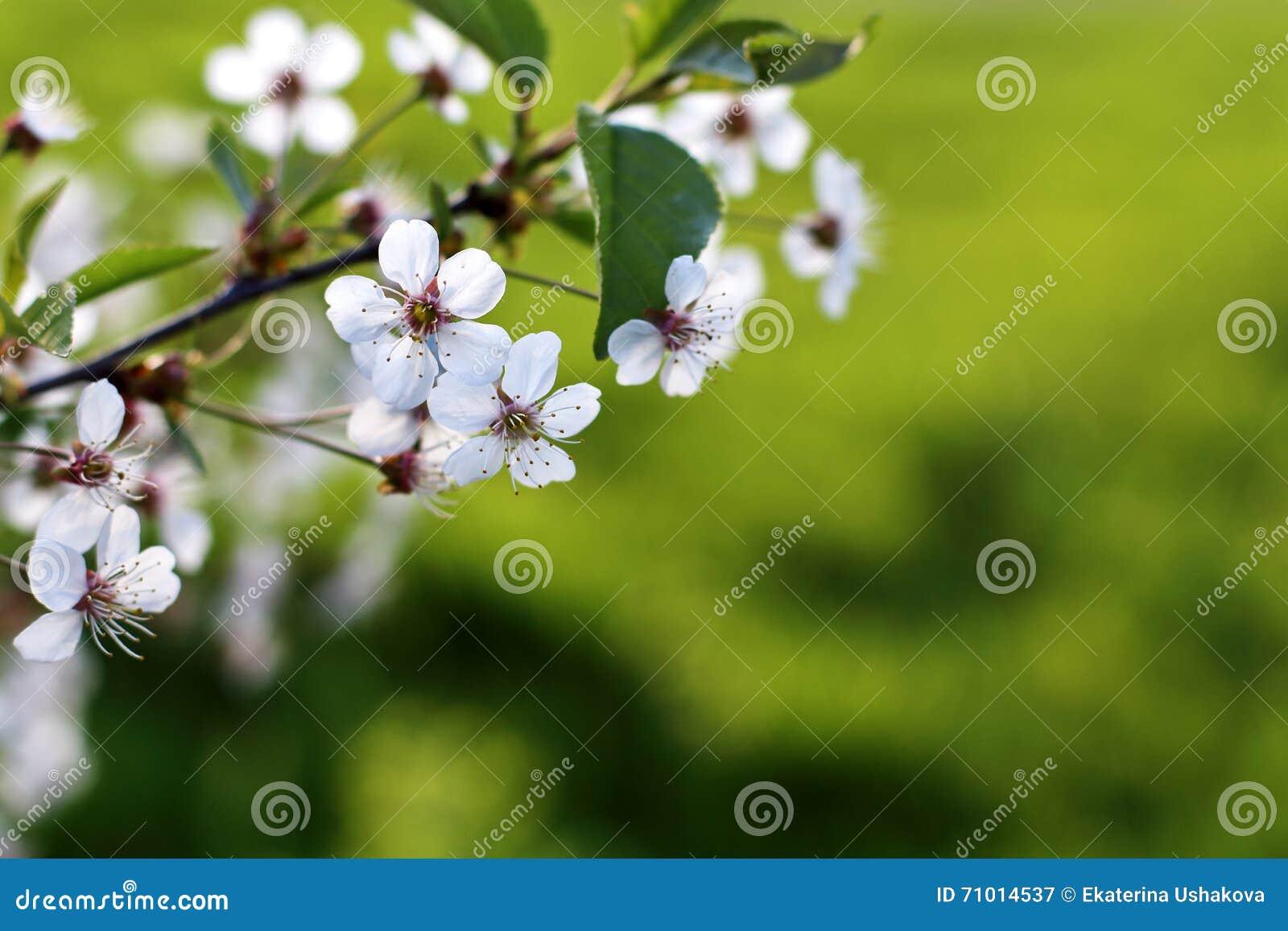 Fondo verde fresco della primavera Cherry Blossom orizzontale con la c