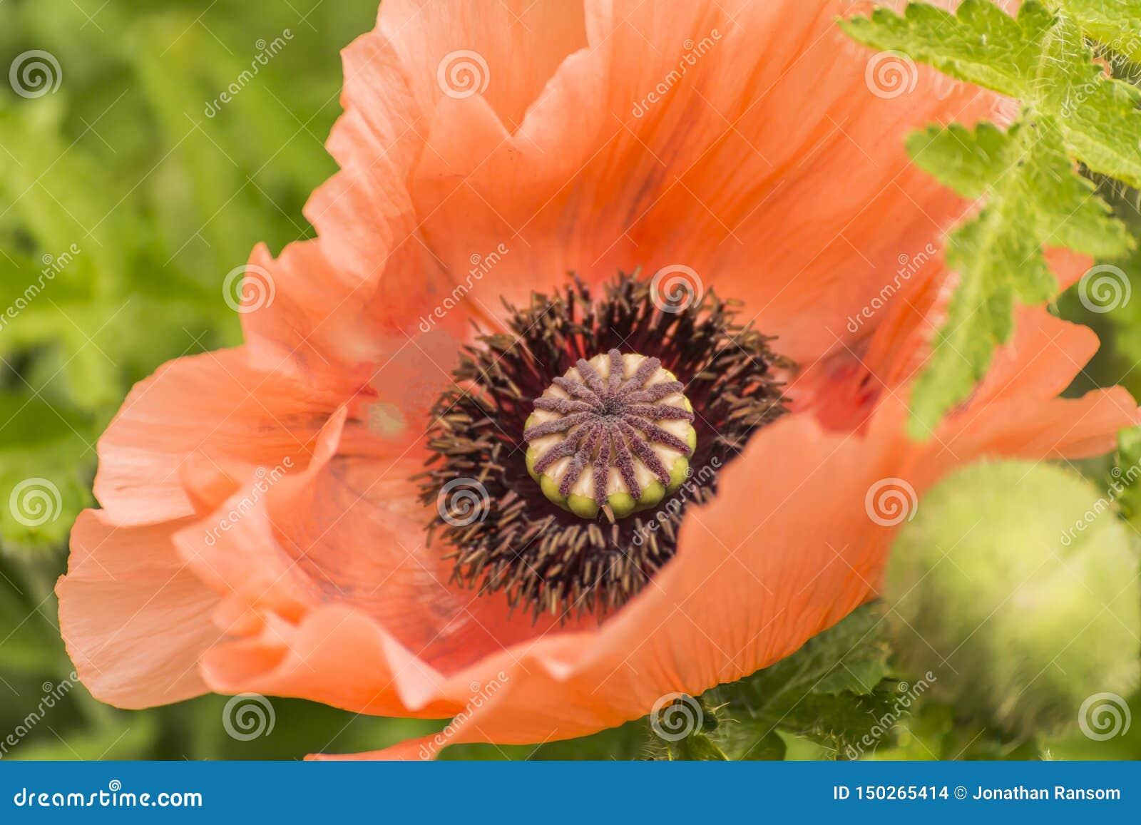 Fondo verde rojo gigante de Poppy On A