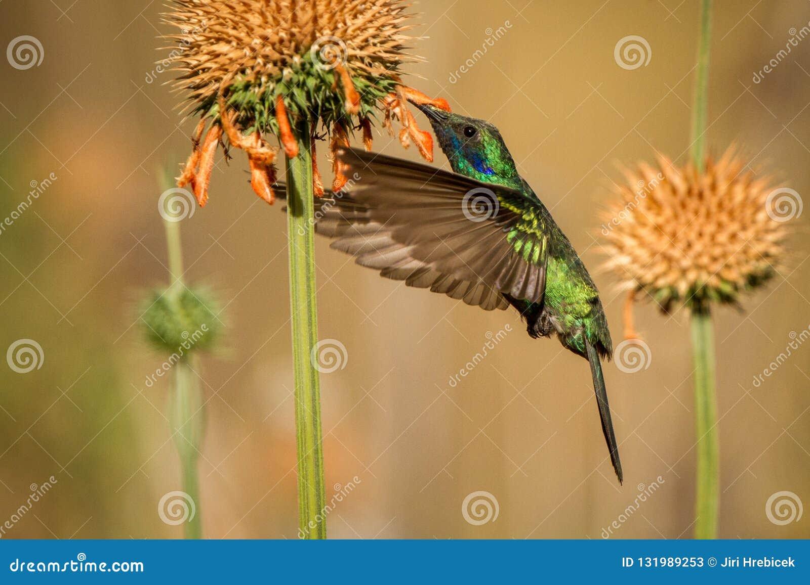 Fonkelend violet-oor, Colibri die coruscans, naast oranje bloem, vogel van hoge hoogten hangen, machupicchu