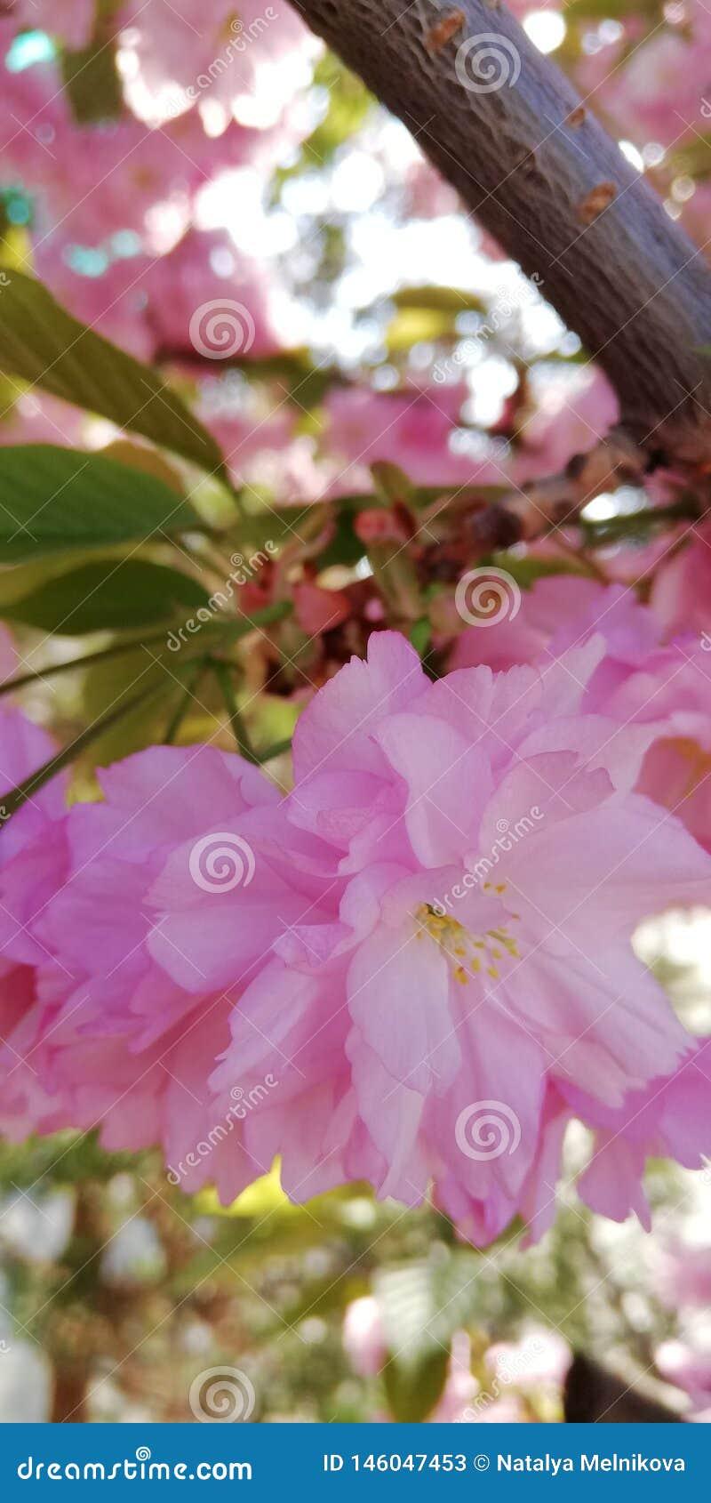 Fonkelende blije positieve achtergrond Gevoelige dubbele roze amandelbloemen op een zonnige de lentedag
