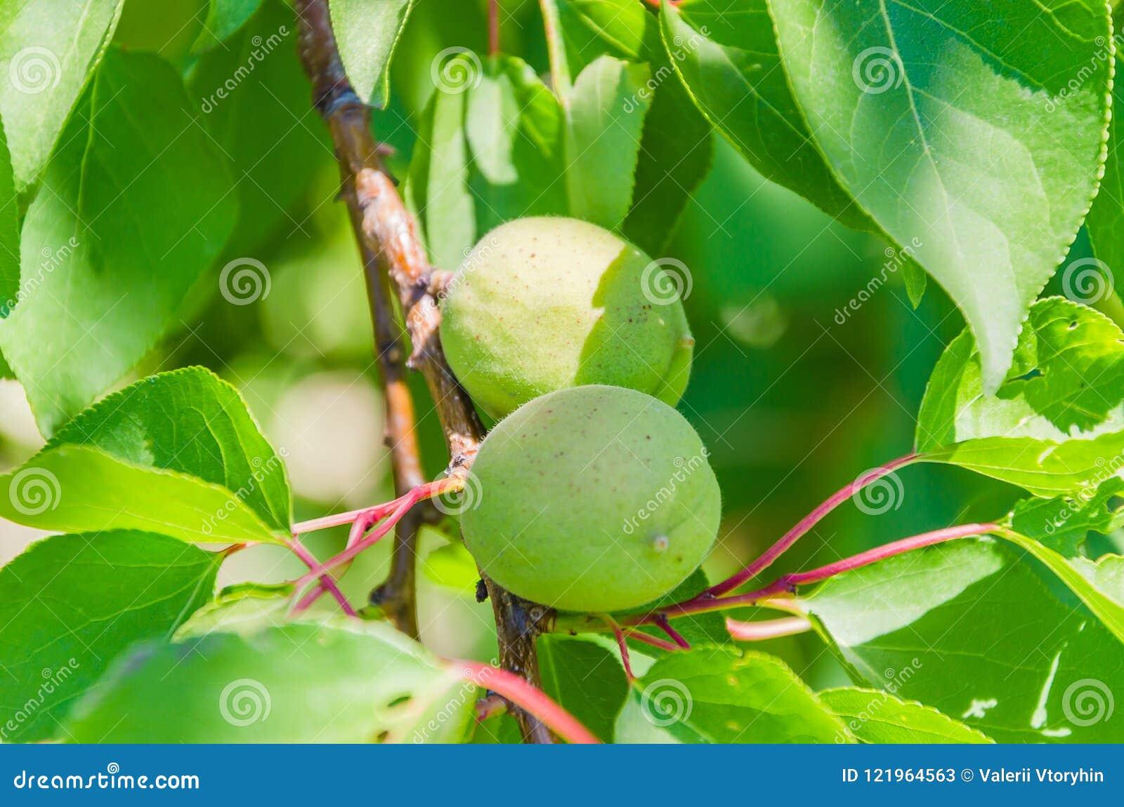 Font pas les jeunes abricots mûrs sur une branche
