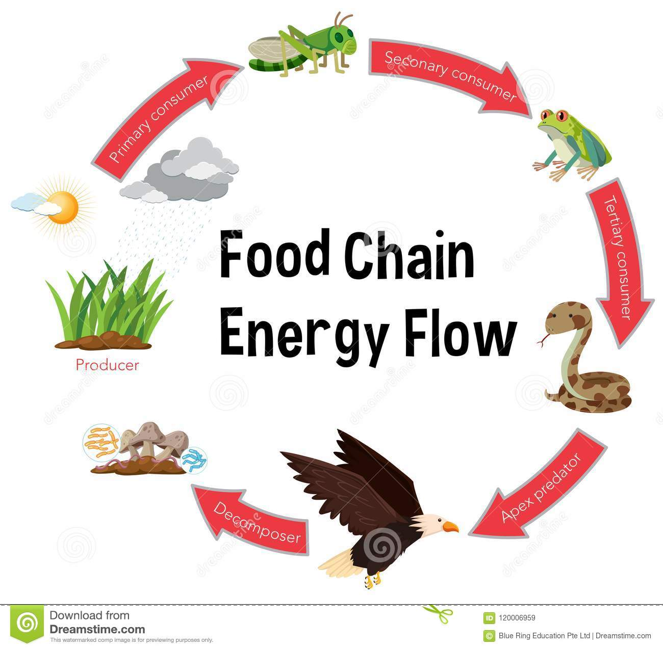 Food chain energy flow diagram