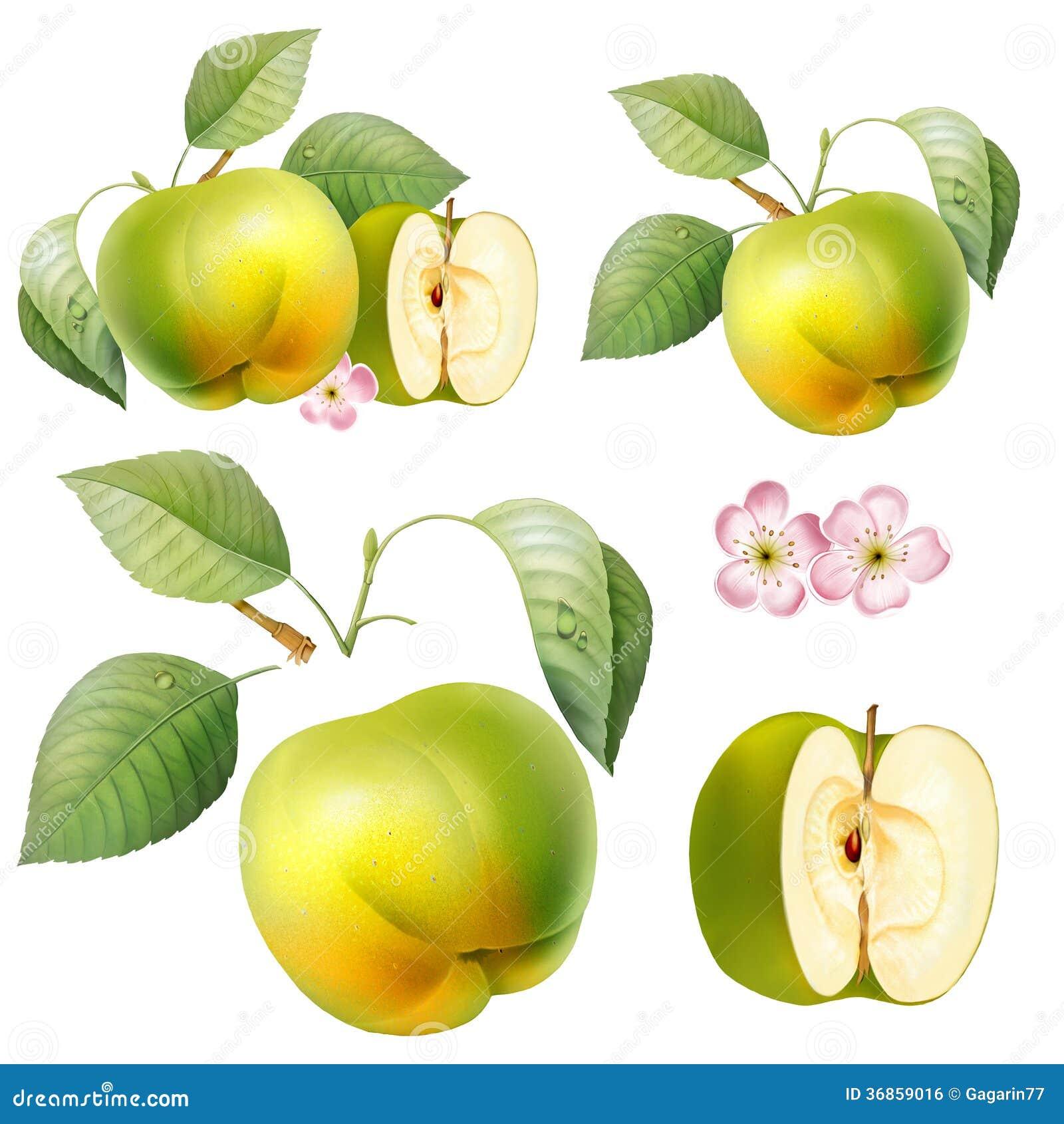 green apple fruit drawing. royalty-free stock photo. download food, fruit, apple, drawing green apple fruit