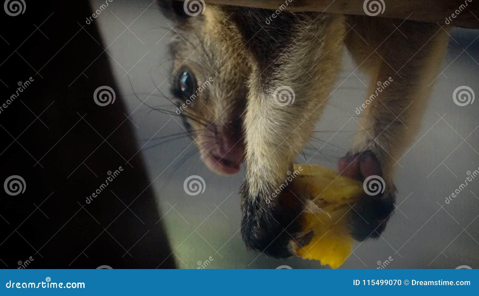 Foodie para o esquilo gigante grisalho