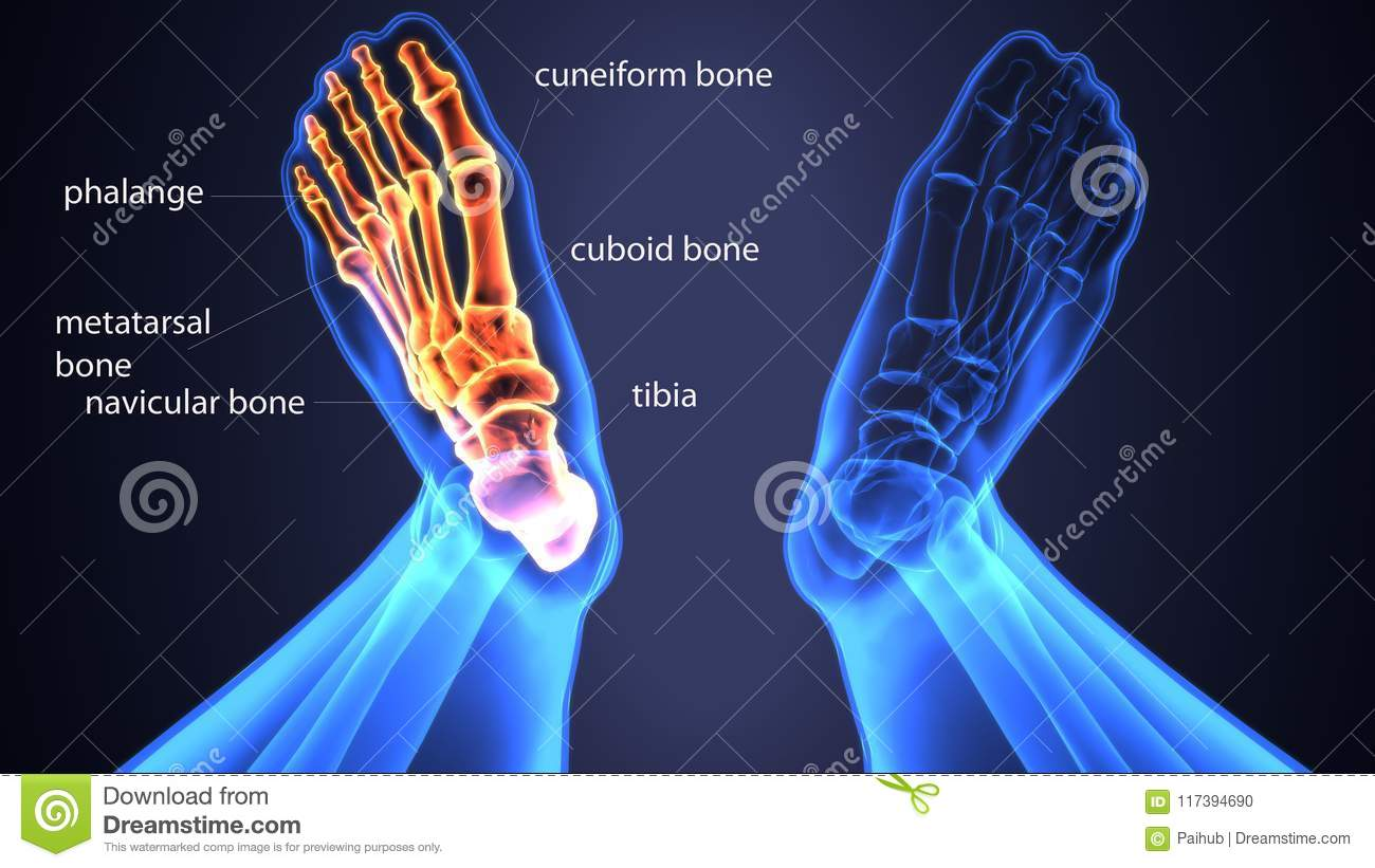 3d Illustration Of Skeleton Foot Bone Anatomy Stock Illustration ...