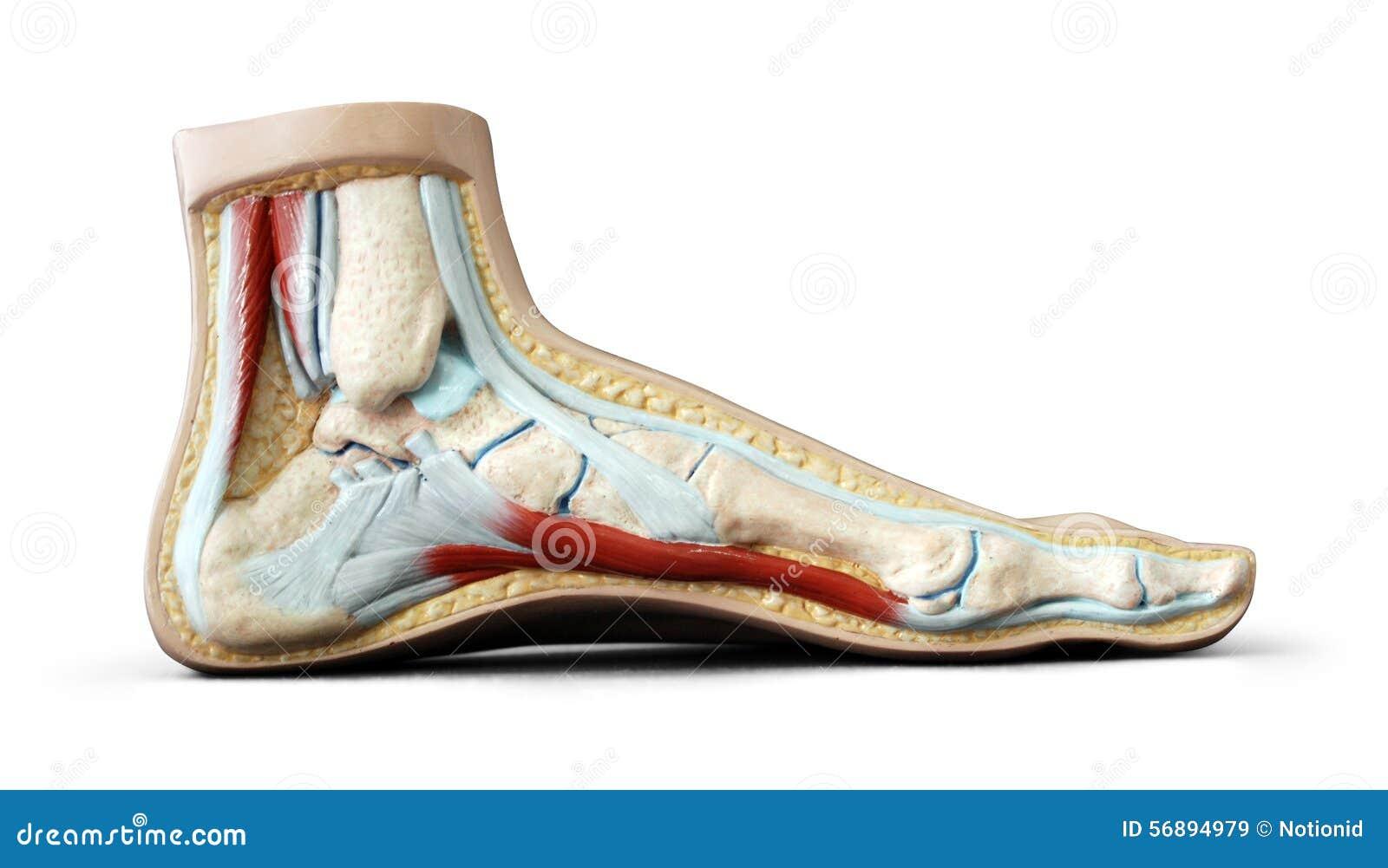 Foot Anatomy Stock Image Image Of Toes Skeleton Finger 56894979