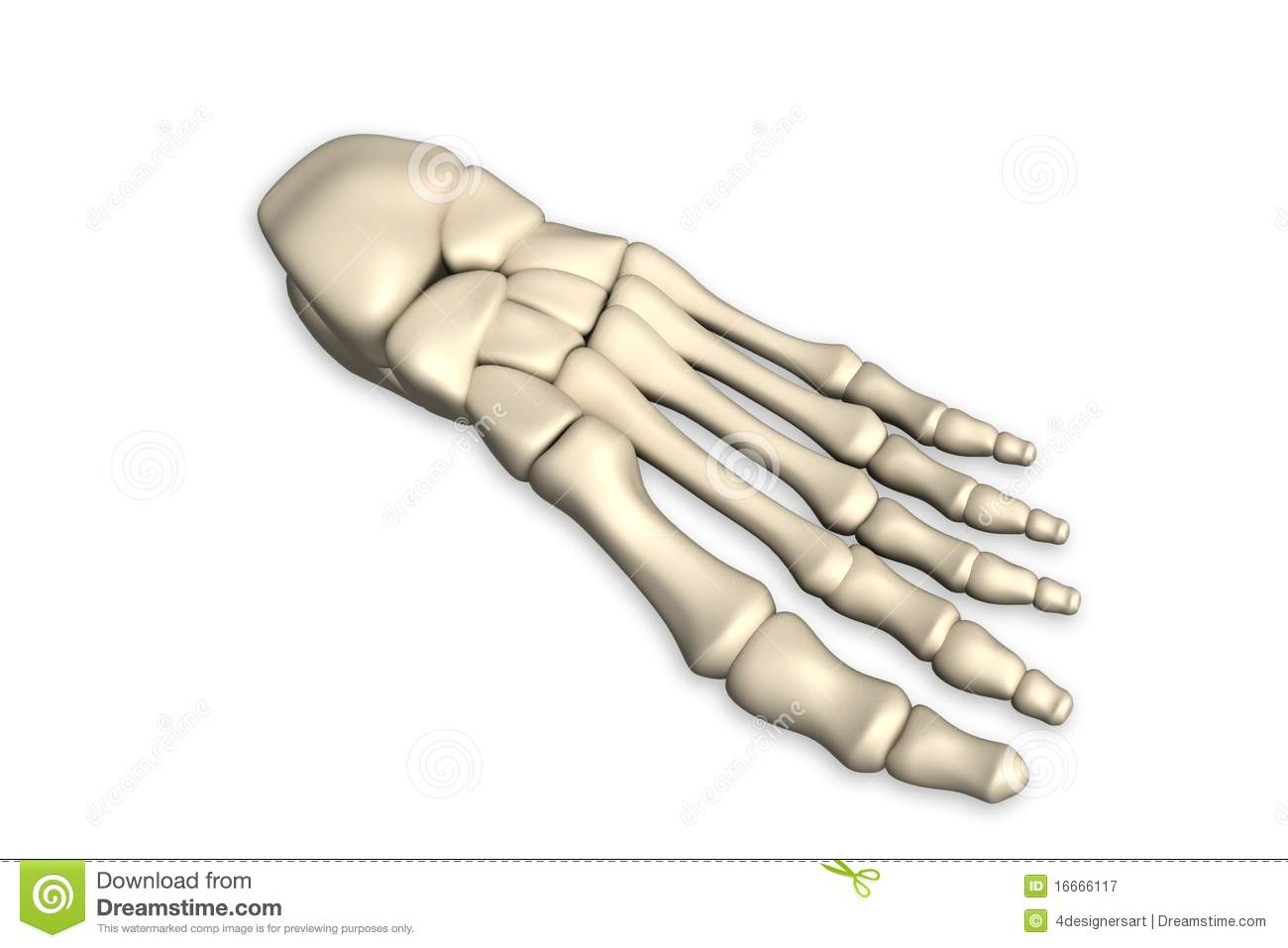 Foot Bone Royalty Free Stock Photography - Image: 16666117