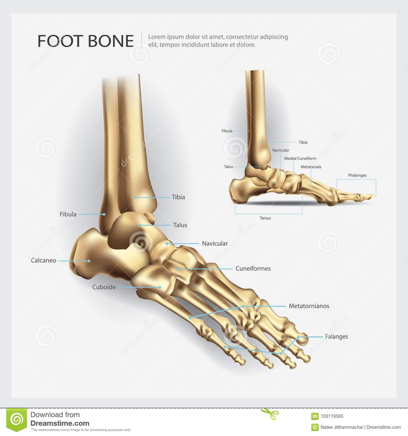 Anatomy Of Foot Bone Royalty-Free Stock Image | CartoonDealer.com ...