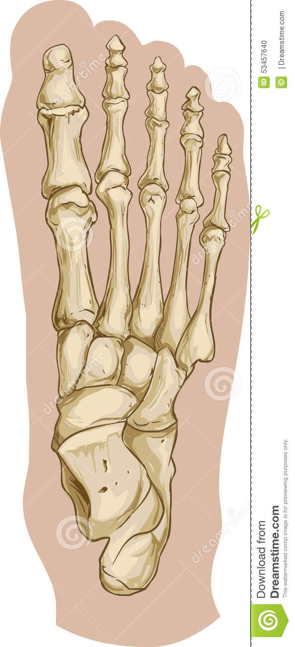 Foot bone anatomy stock vector. Illustration of accidence - 53457640