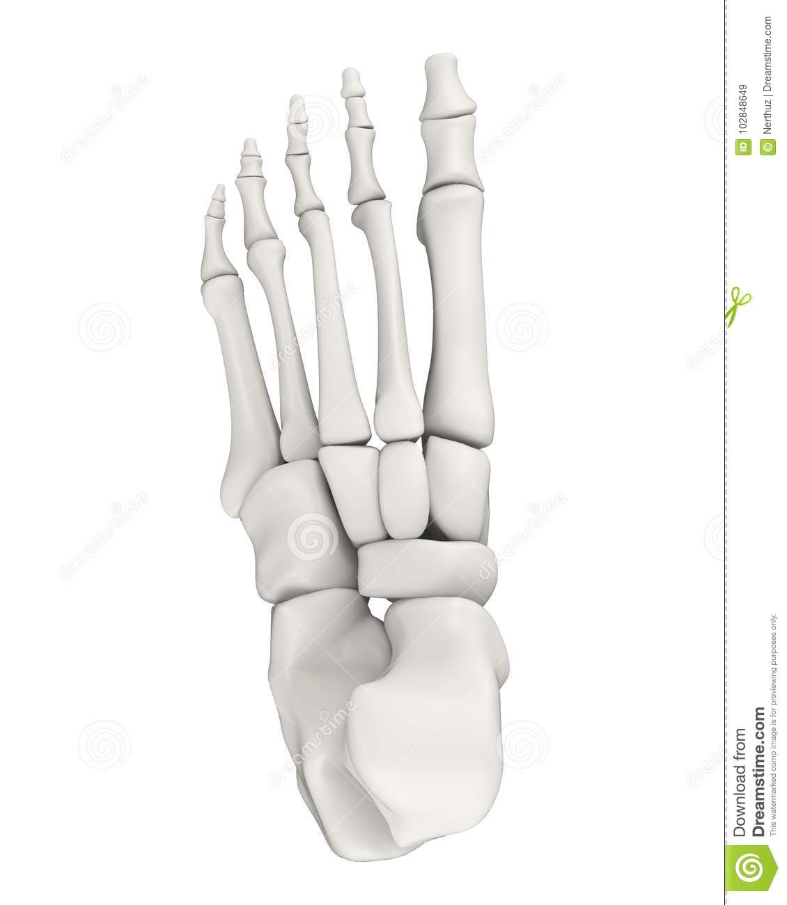 Skeletal anatomy foot