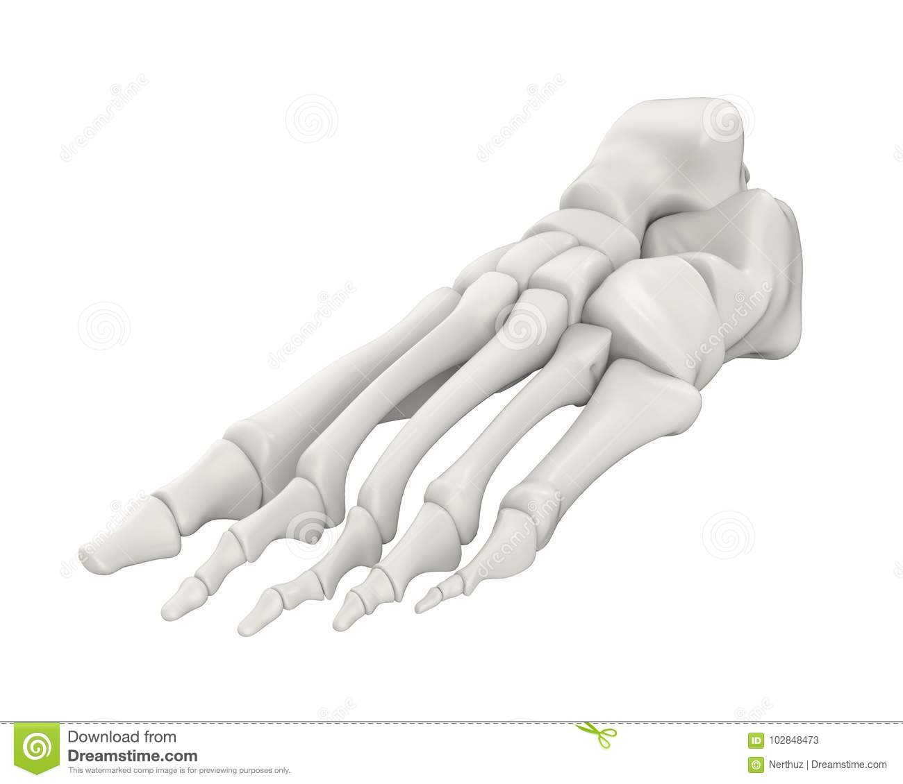 Foot Bones Anatomy Isolated Stock Illustration - Illustration of ...