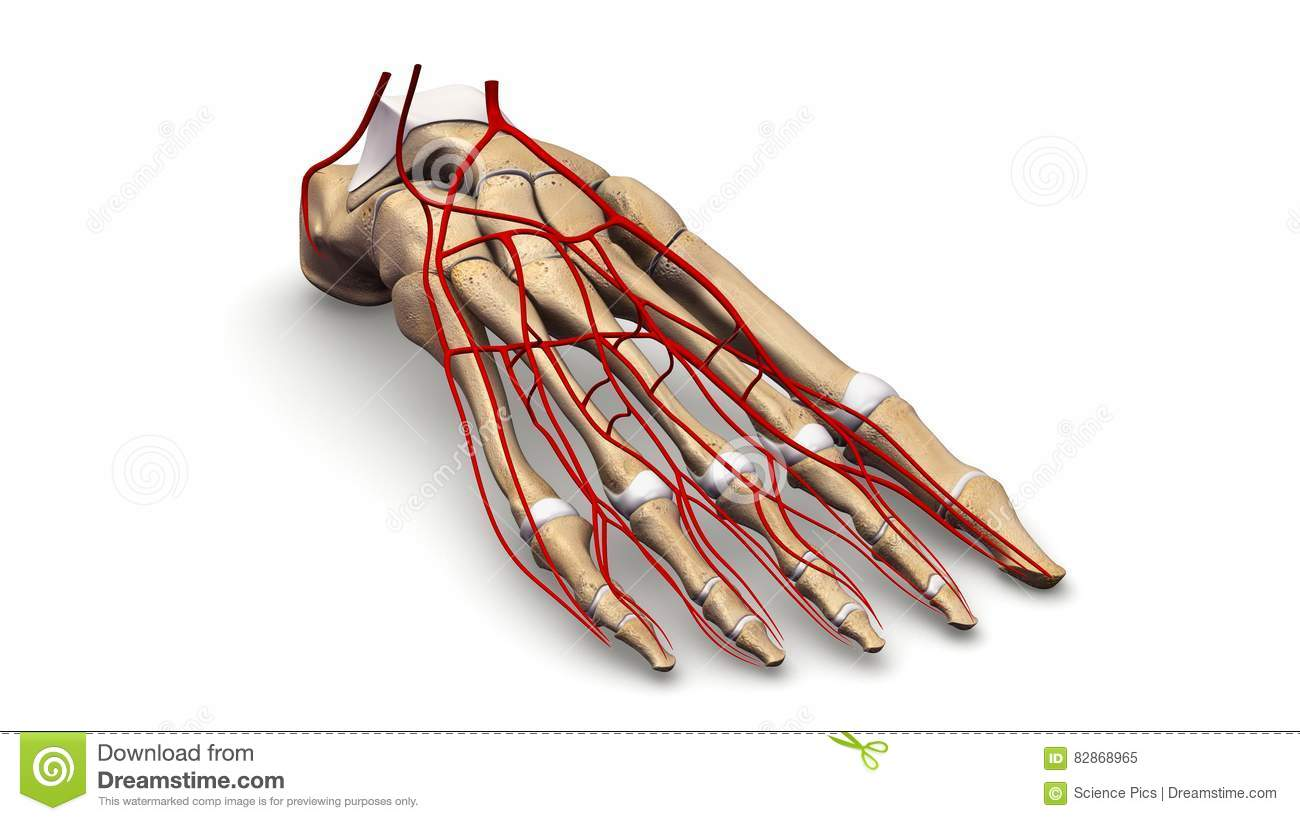 Foot Bones With Arteries Perspective View Stock Image - Image of ...