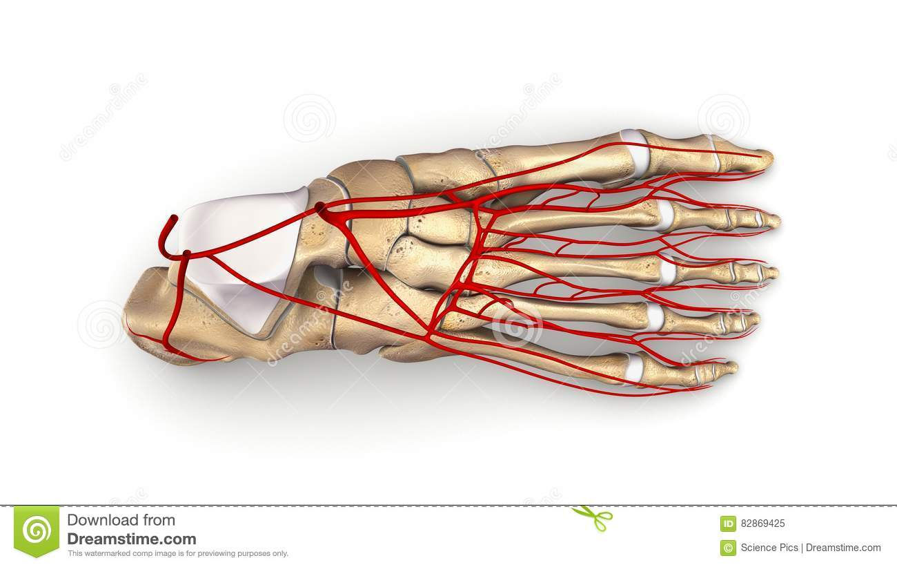 Foot Bones With Arteries Top View Stock Image - Image of feet ...