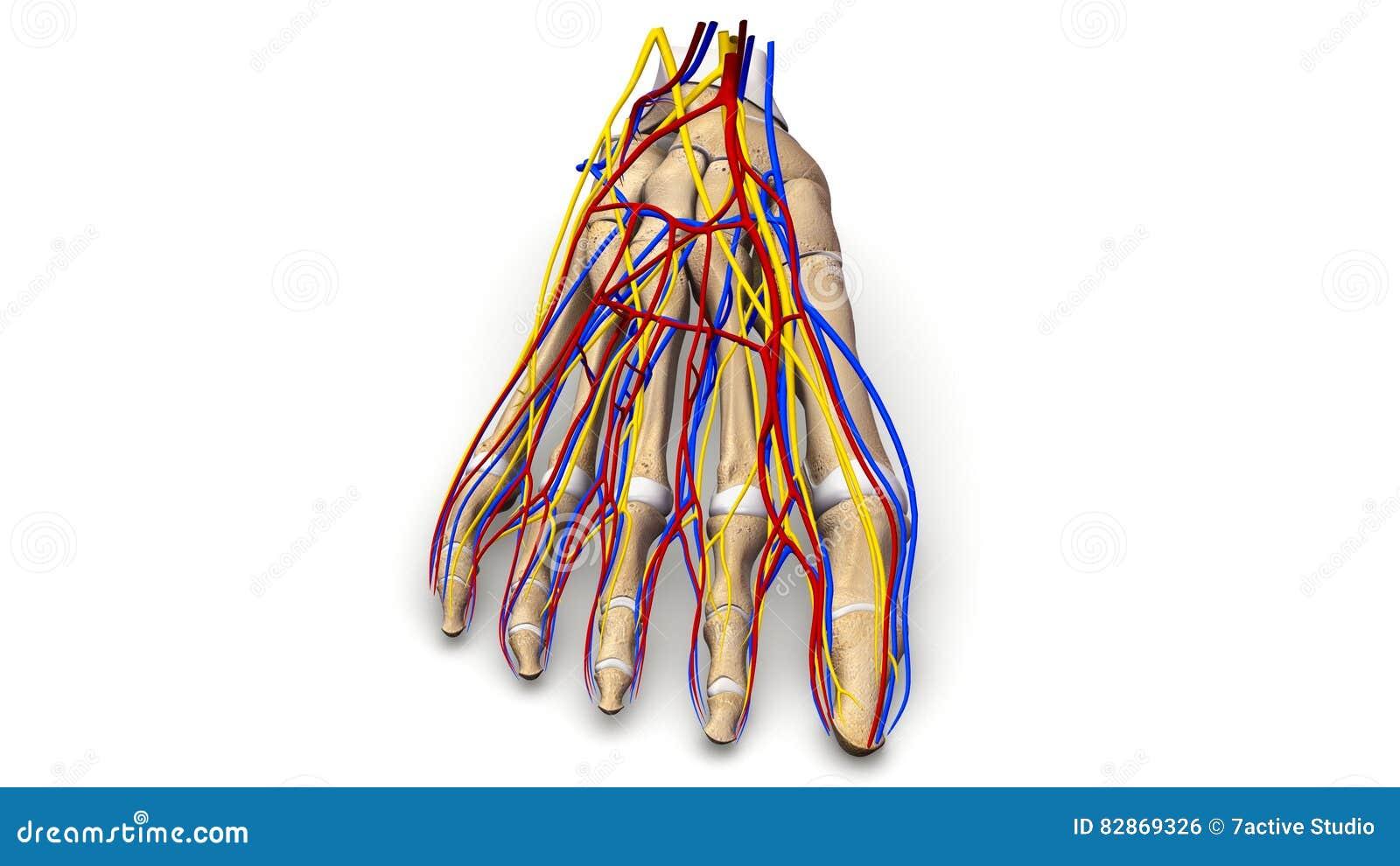 Ziemlich Toe Nerven Bilder - Menschliche Anatomie Bilder ...