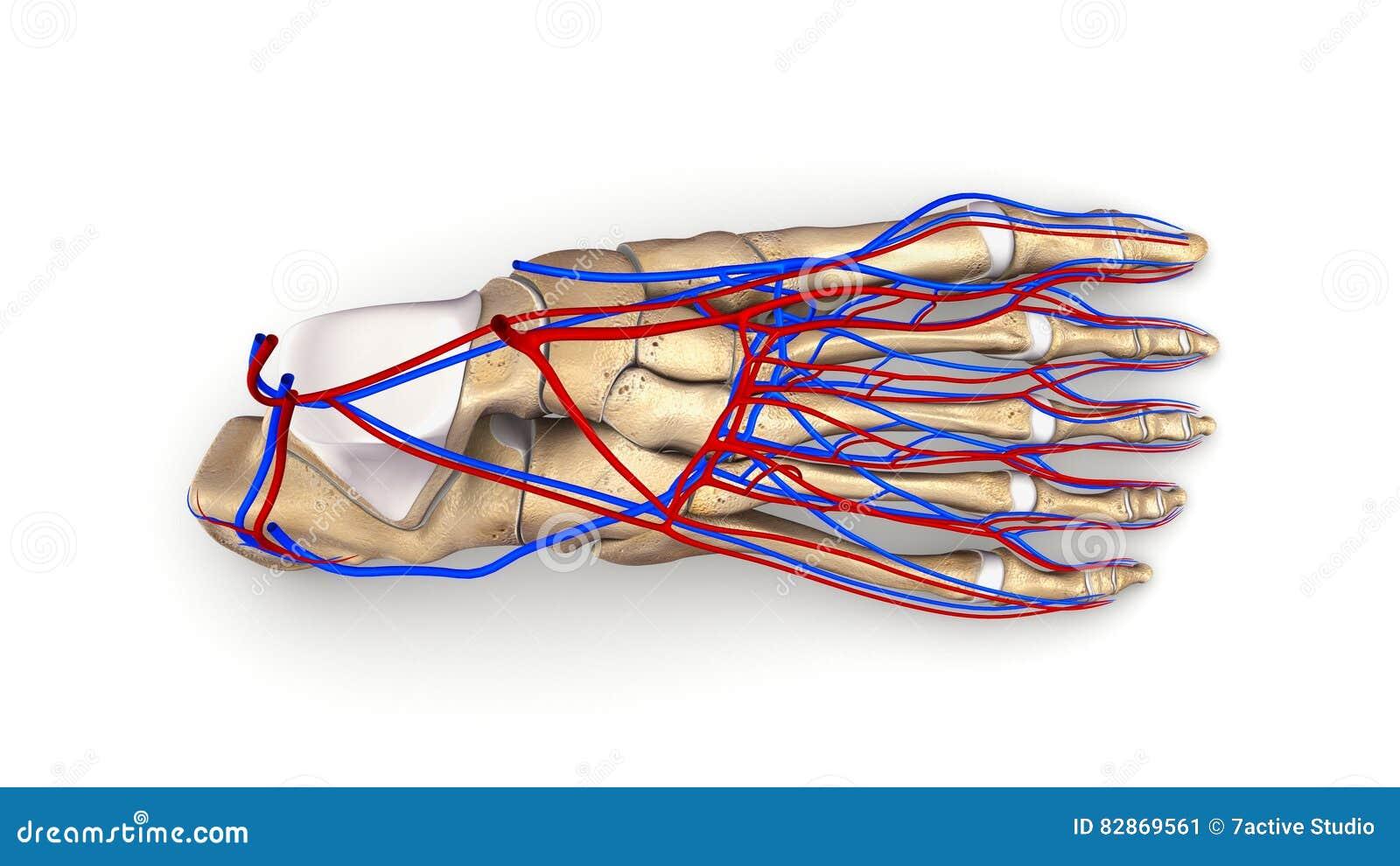 Metatarsals Bones Anatomy Circulatory System