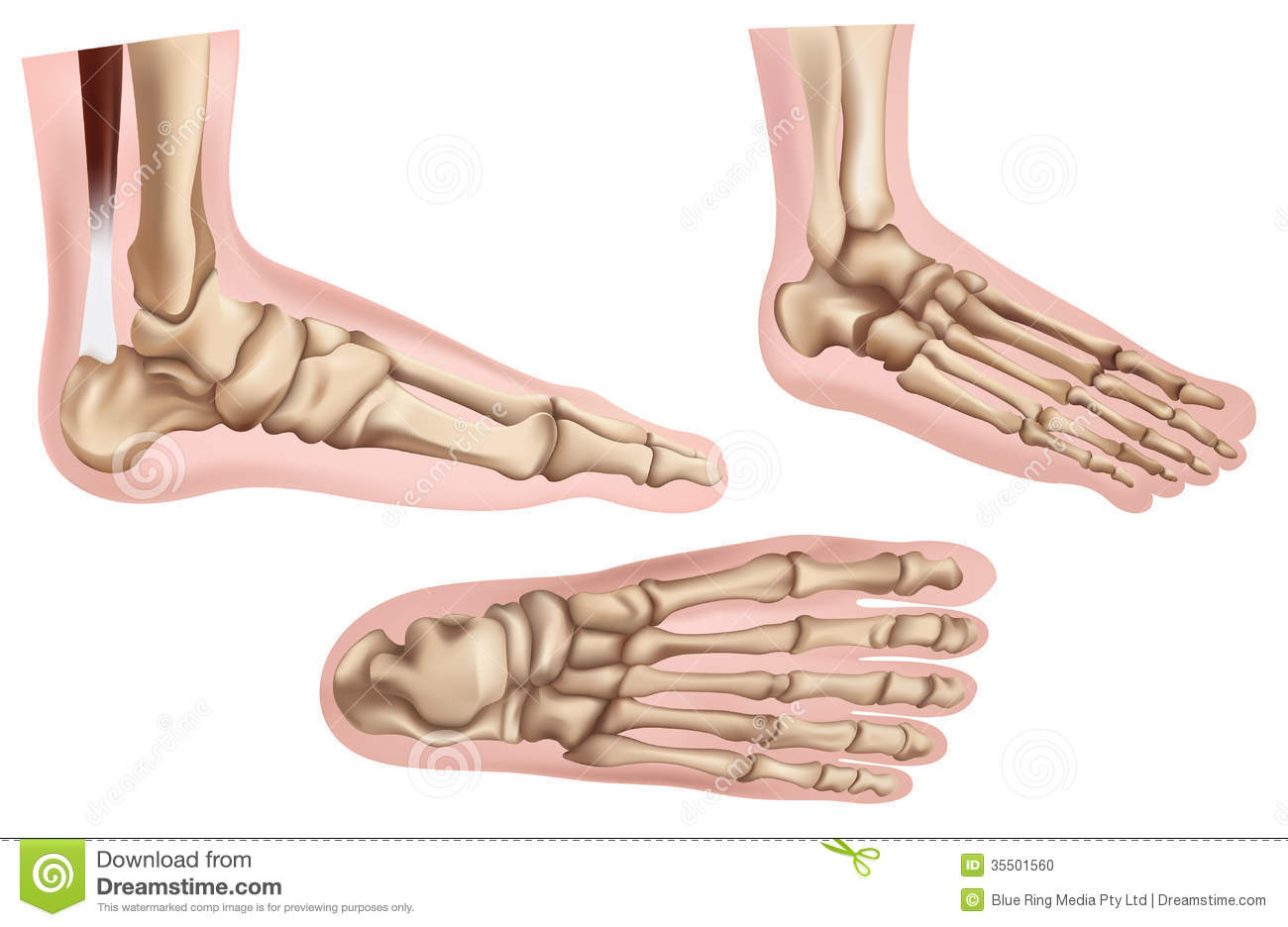 Stock Photo Foot Bones Illustration White Background Image35501560