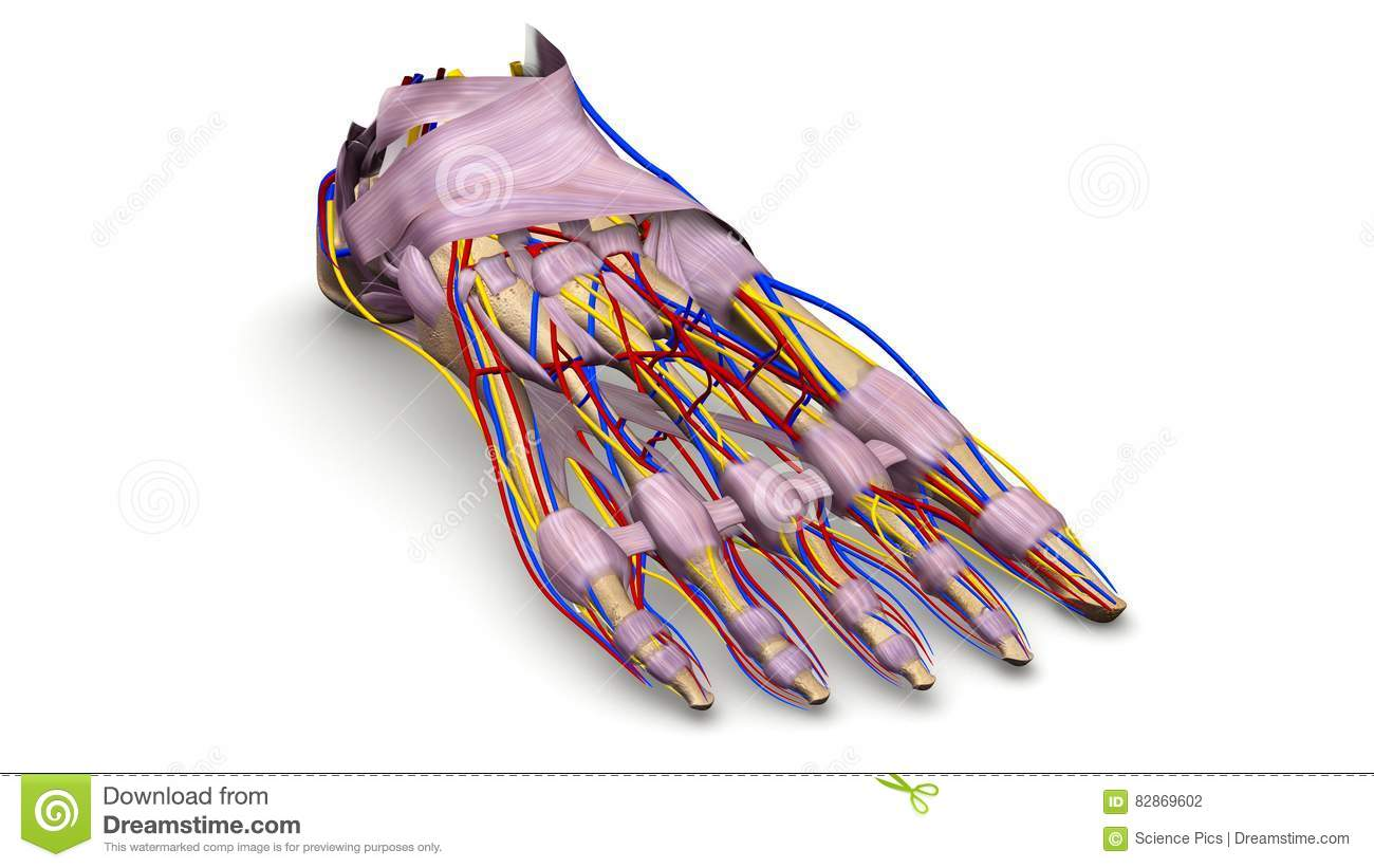 Foot Bones With Ligaments, Blood Vessels And Nerves Perspective View ...