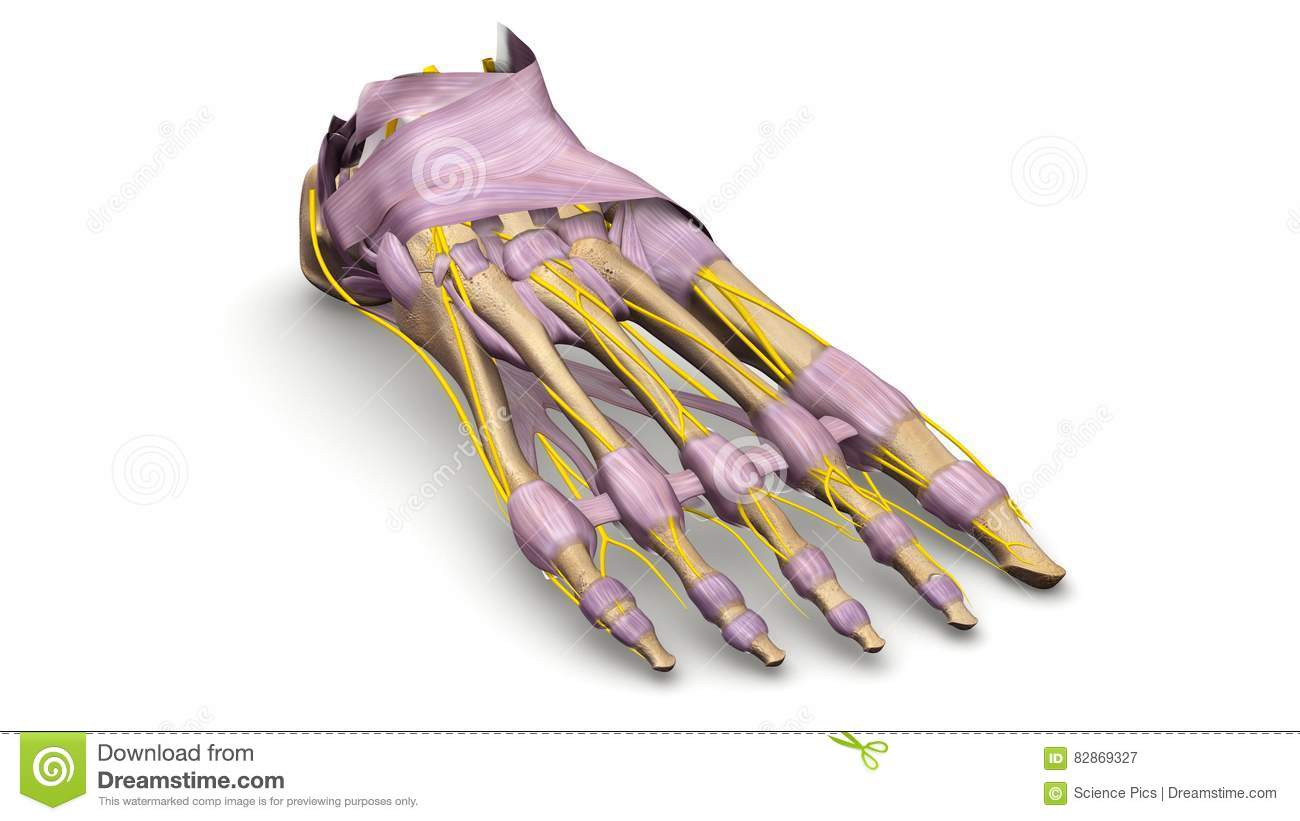 Foot Bones With Ligaments And Nerves Perspective View Stock Image ...
