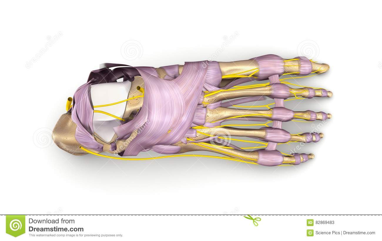 Foot Bones With Ligaments And Nerves Top View Stock Image - Image of ...