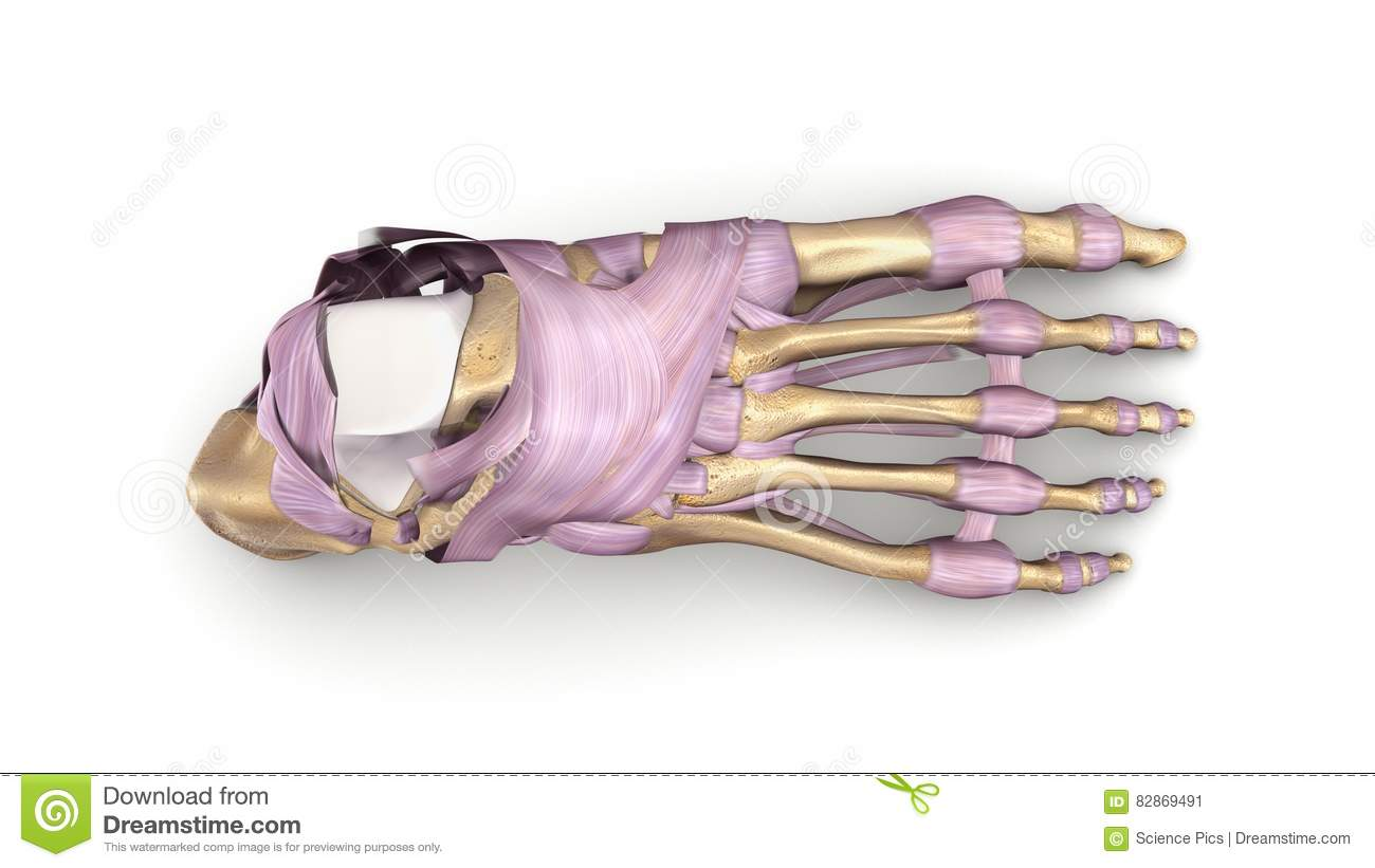 Foot Bones With Ligaments Top View Stock Image Image Of Tendons