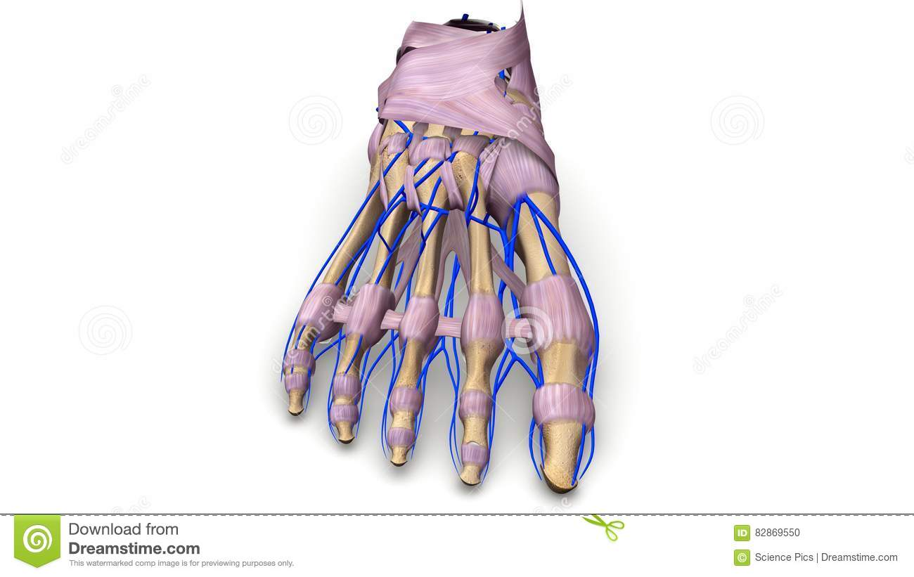 Foot Bones With Ligaments And Veins Anterior View Stock Illustration ...