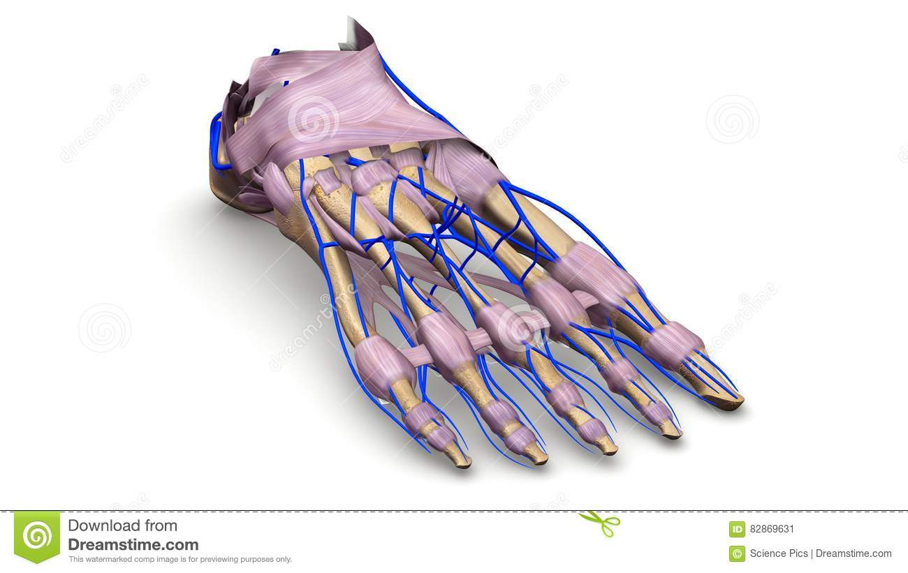 Foot Bones With Ligaments And Veins Perspective View Stock ...