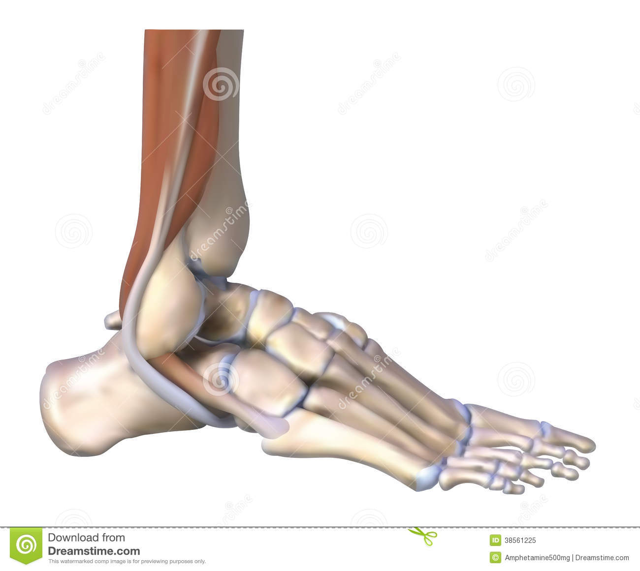 The Foot Bones And Tendons Stock Illustration Image Of
