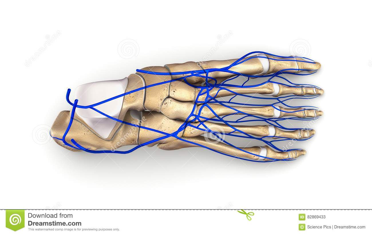 Foot Bones With Veins Top View Stock Image - Image of ankle, veins ...
