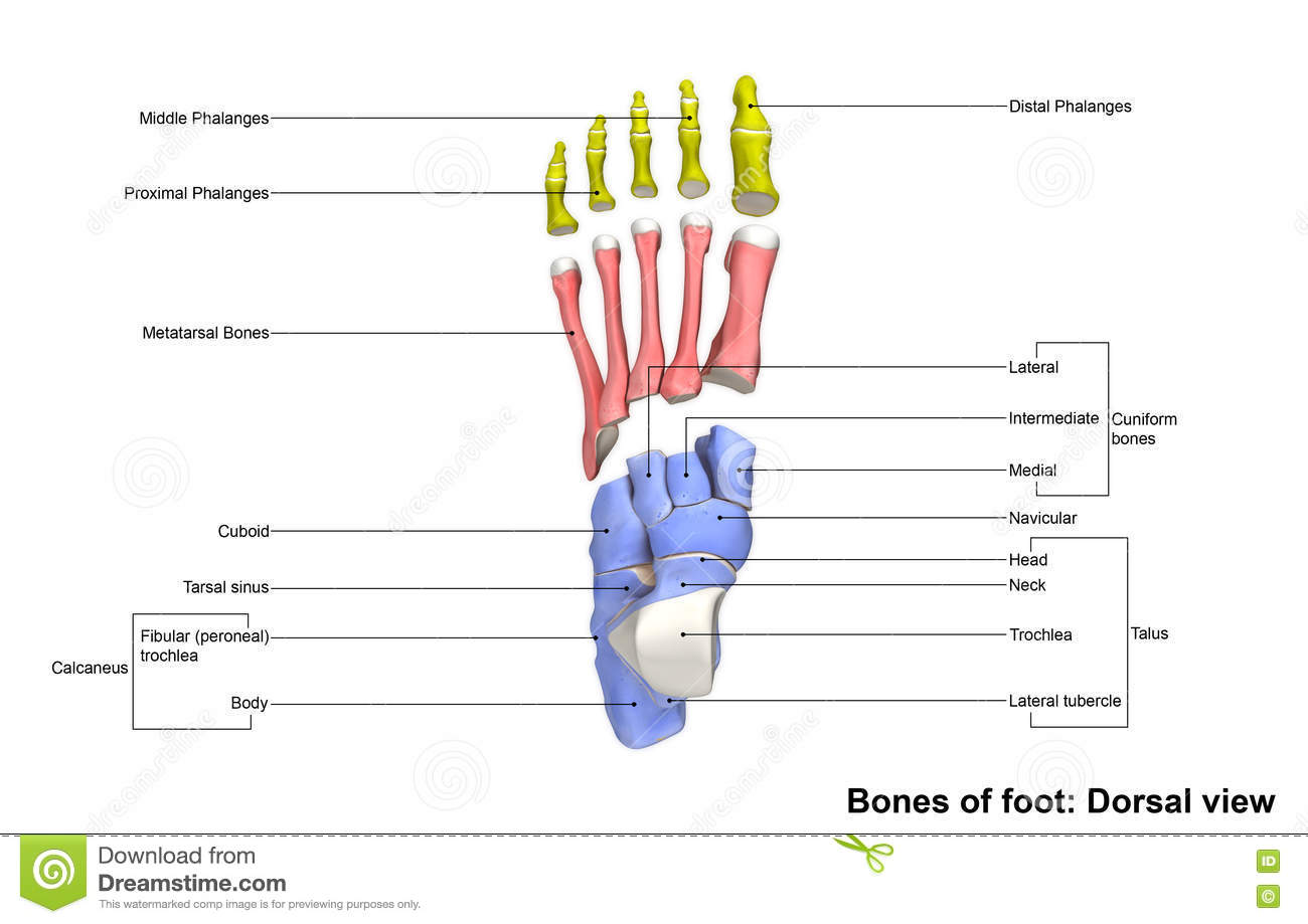 Foot Dorsal View Stock Image Image Of Midfoot Distal 76445163