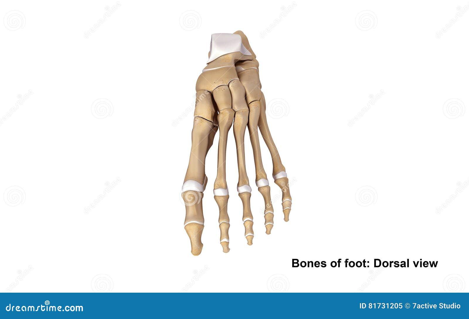 Foot Dorsal view stock illustration. Illustration of pisiform - 81731205